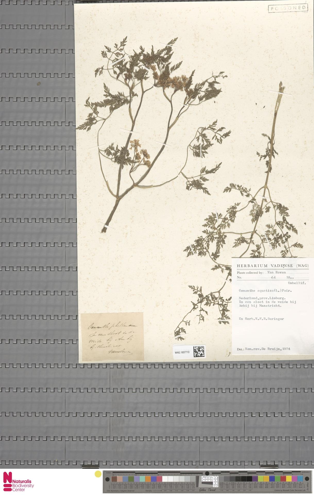 WAG.1937713   Oenanthe aquatica (L.) Poir.