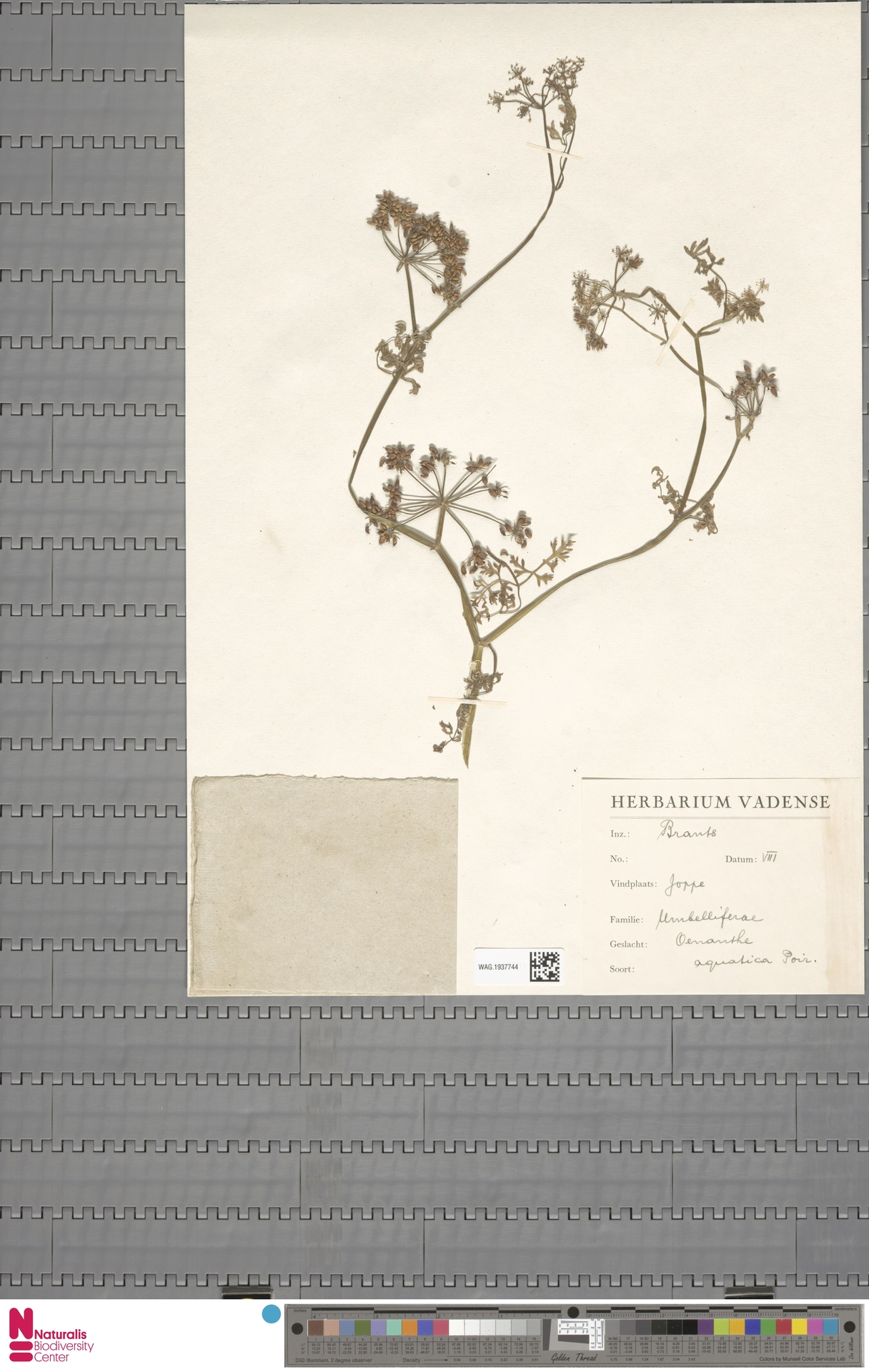 WAG.1937744 | Oenanthe aquatica (L.) Poir.