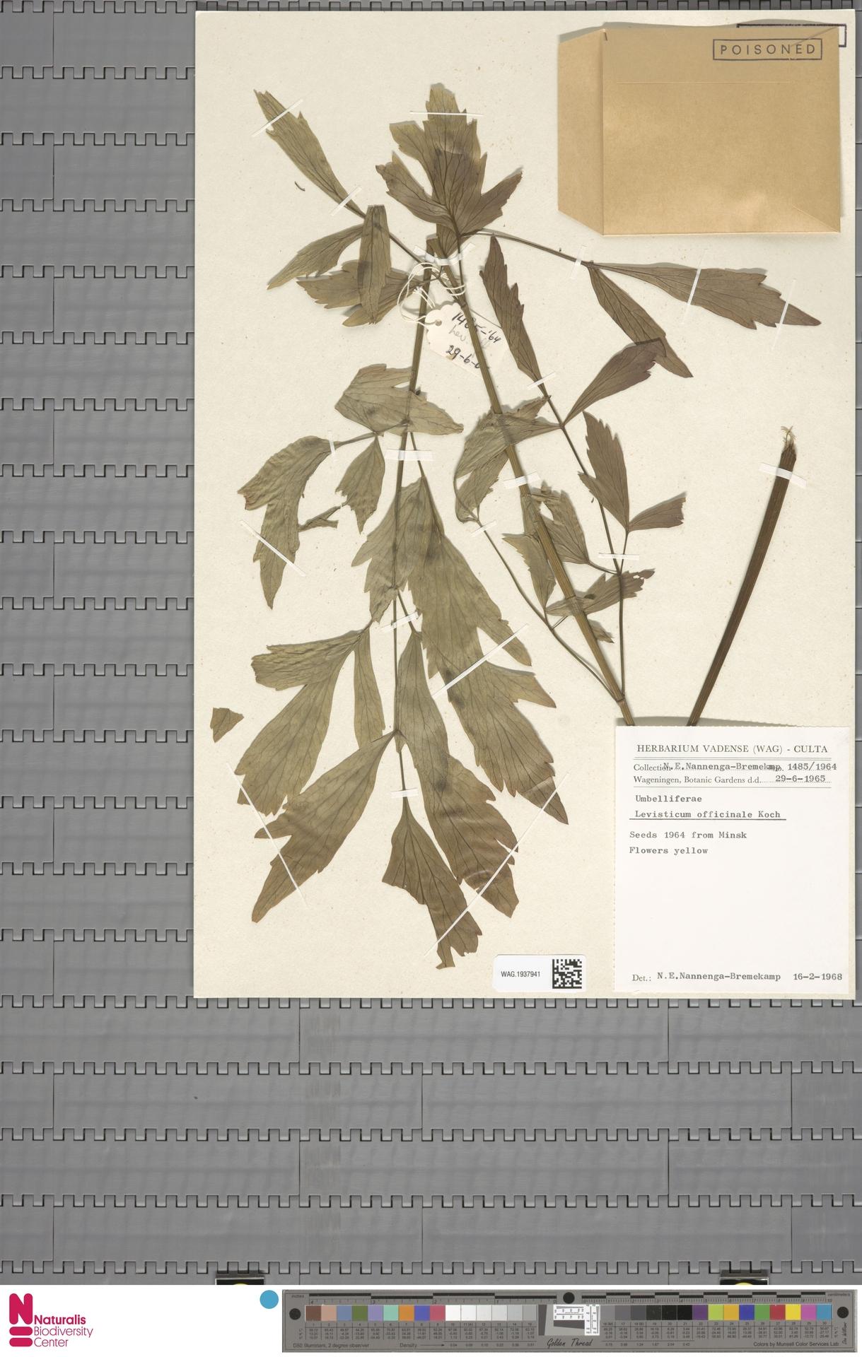 WAG.1937941 | Levisticum officinale W.D.J.Koch