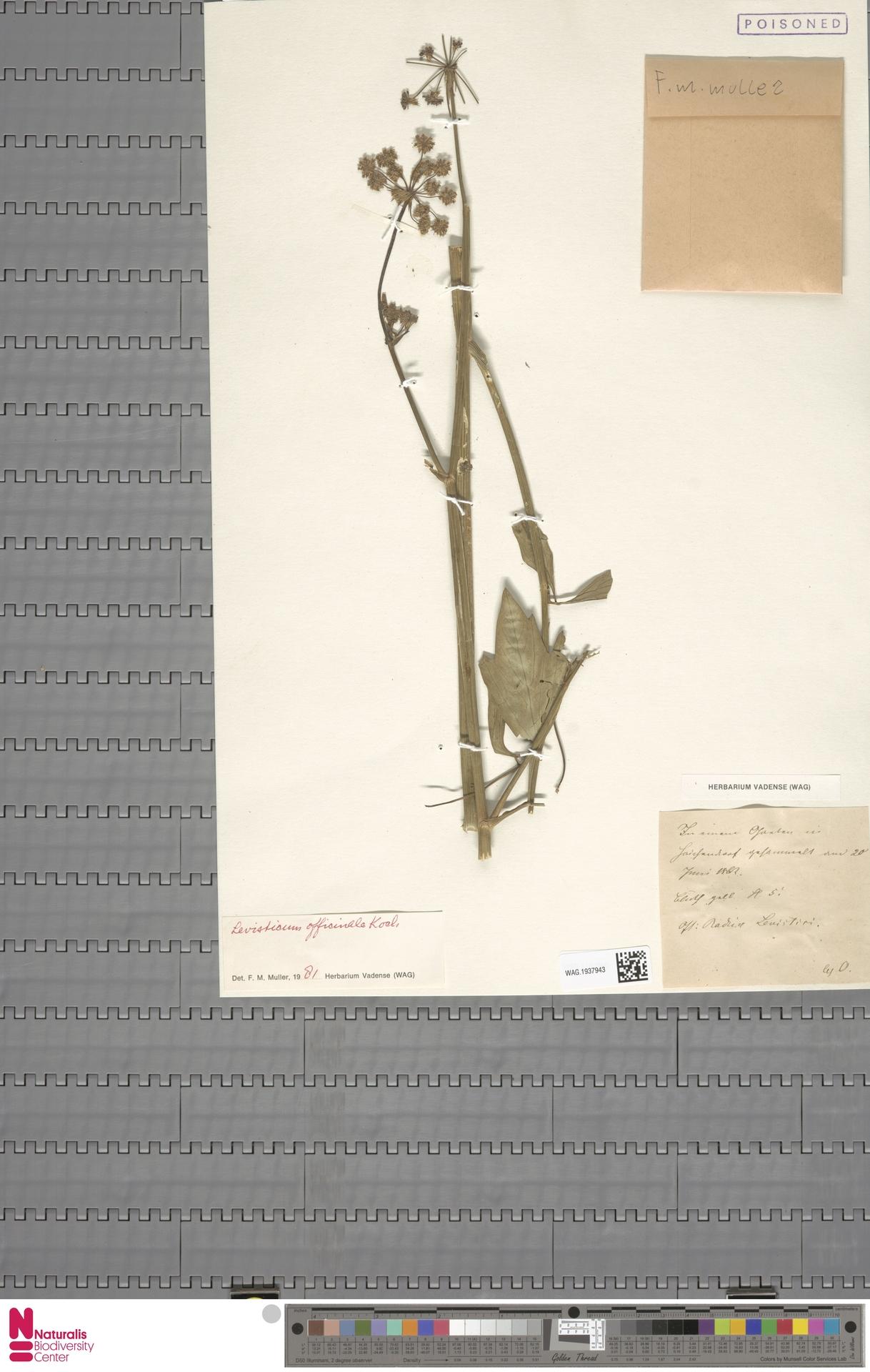 WAG.1937943 | Levisticum officinale W.D.J.Koch
