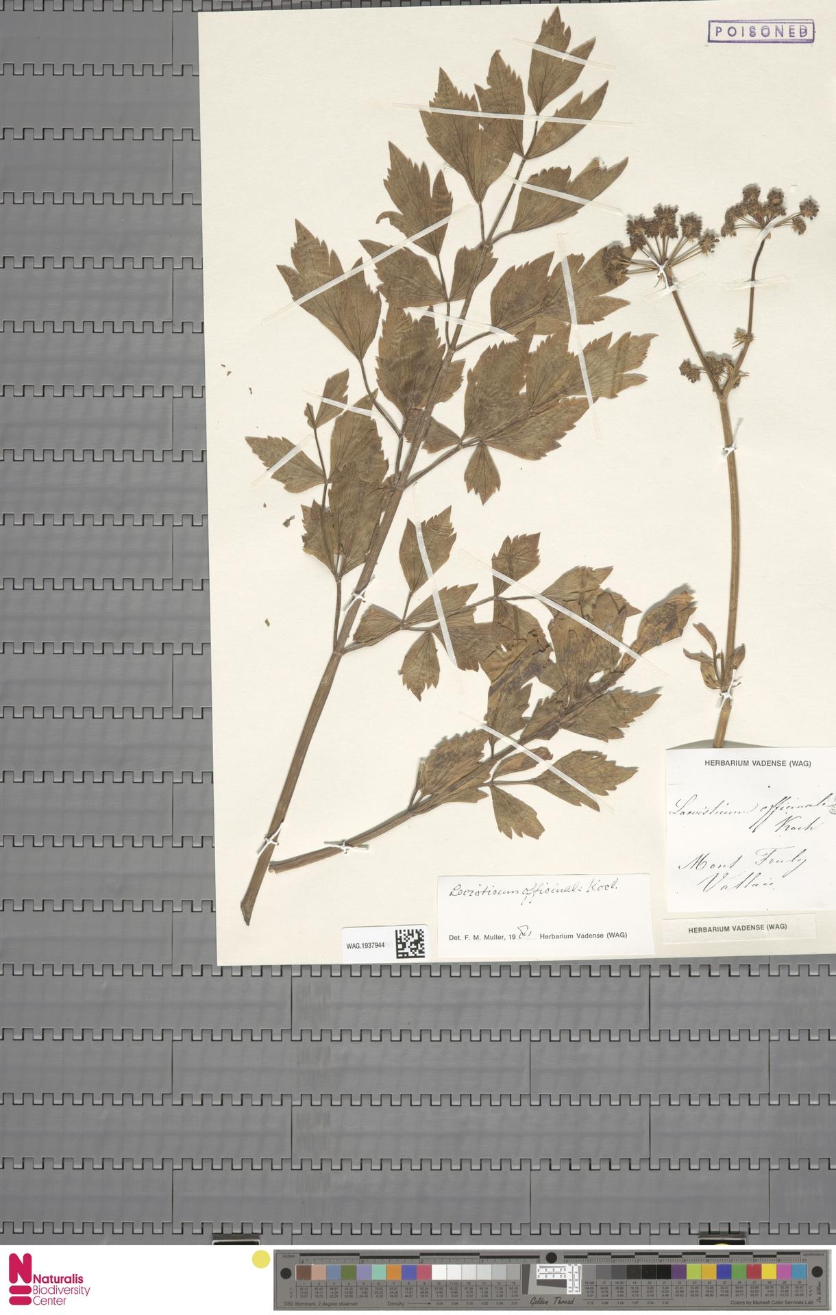 WAG.1937944 | Levisticum officinale W.D.J.Koch