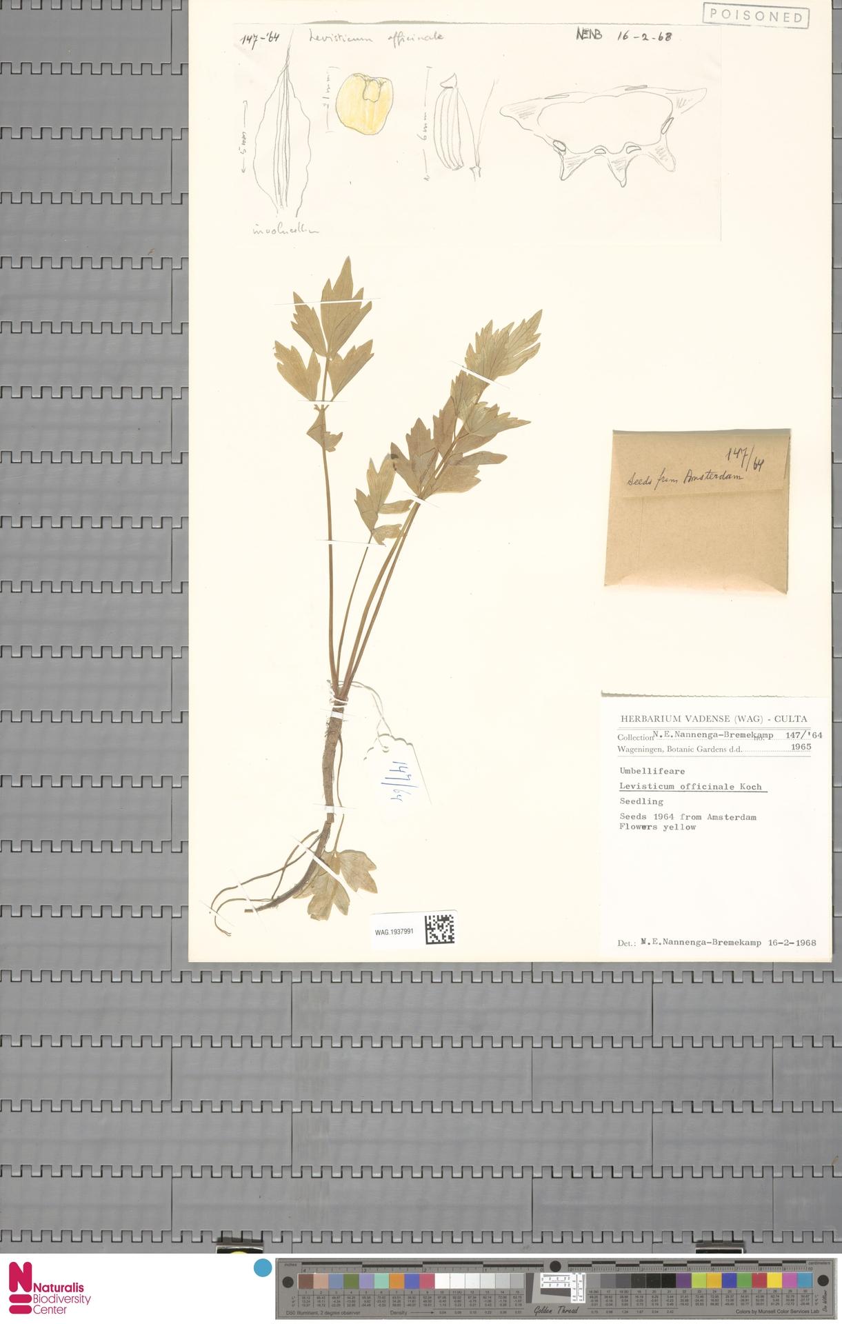 WAG.1937991 | Levisticum officinale W.D.J.Koch