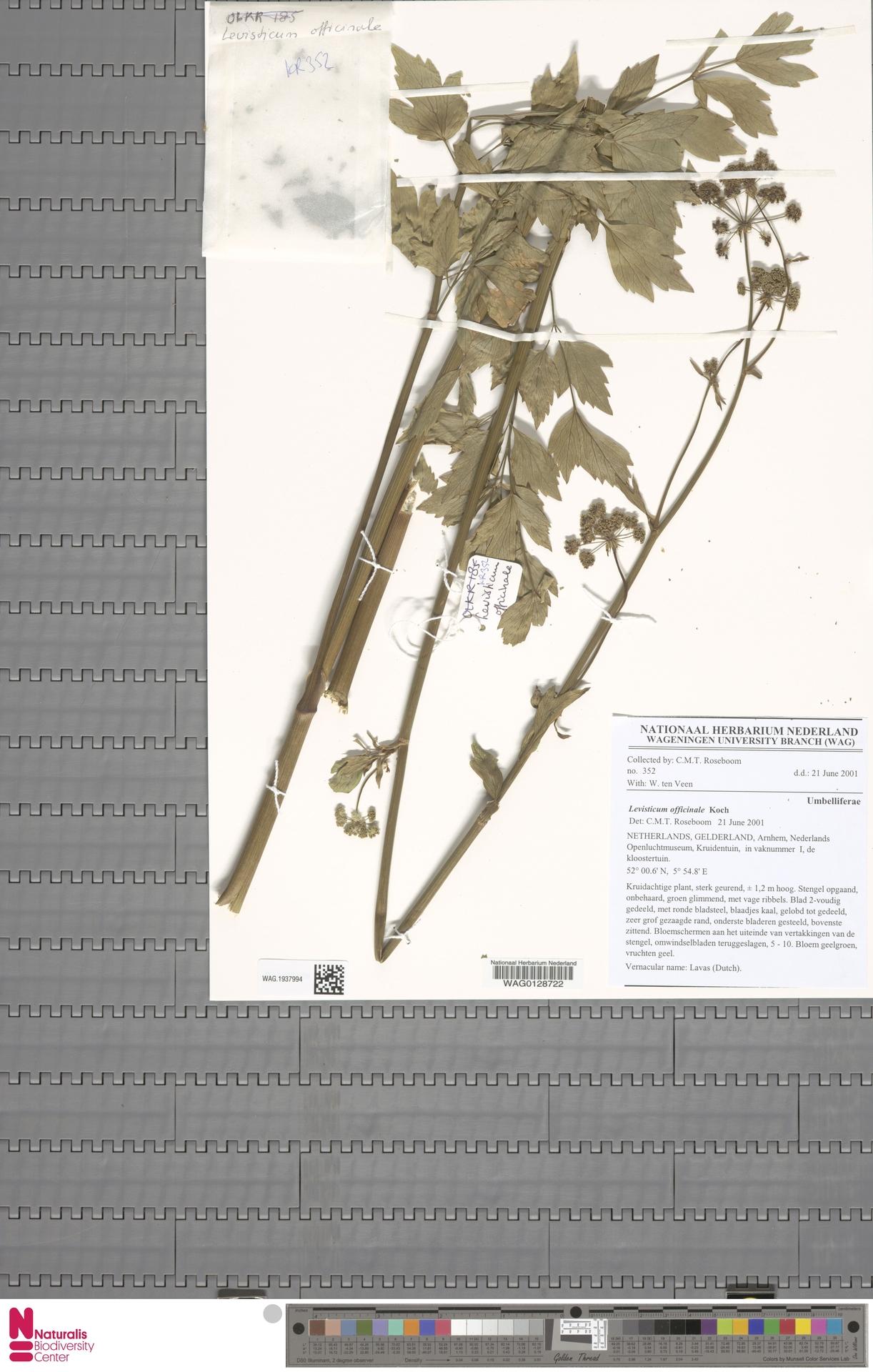 WAG.1937994 | Levisticum officinale W.D.J.Koch