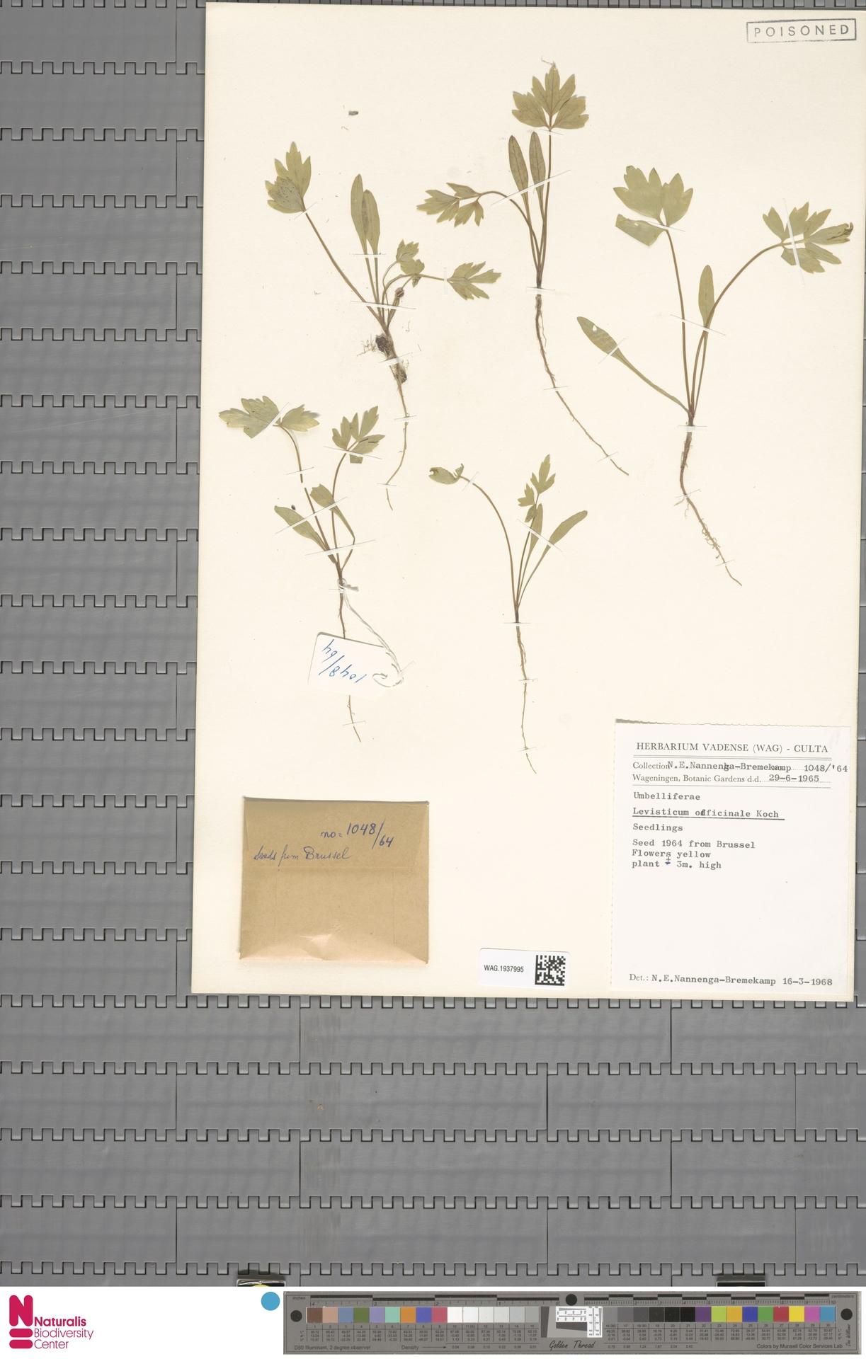 WAG.1937995 | Levisticum officinale W.D.J.Koch