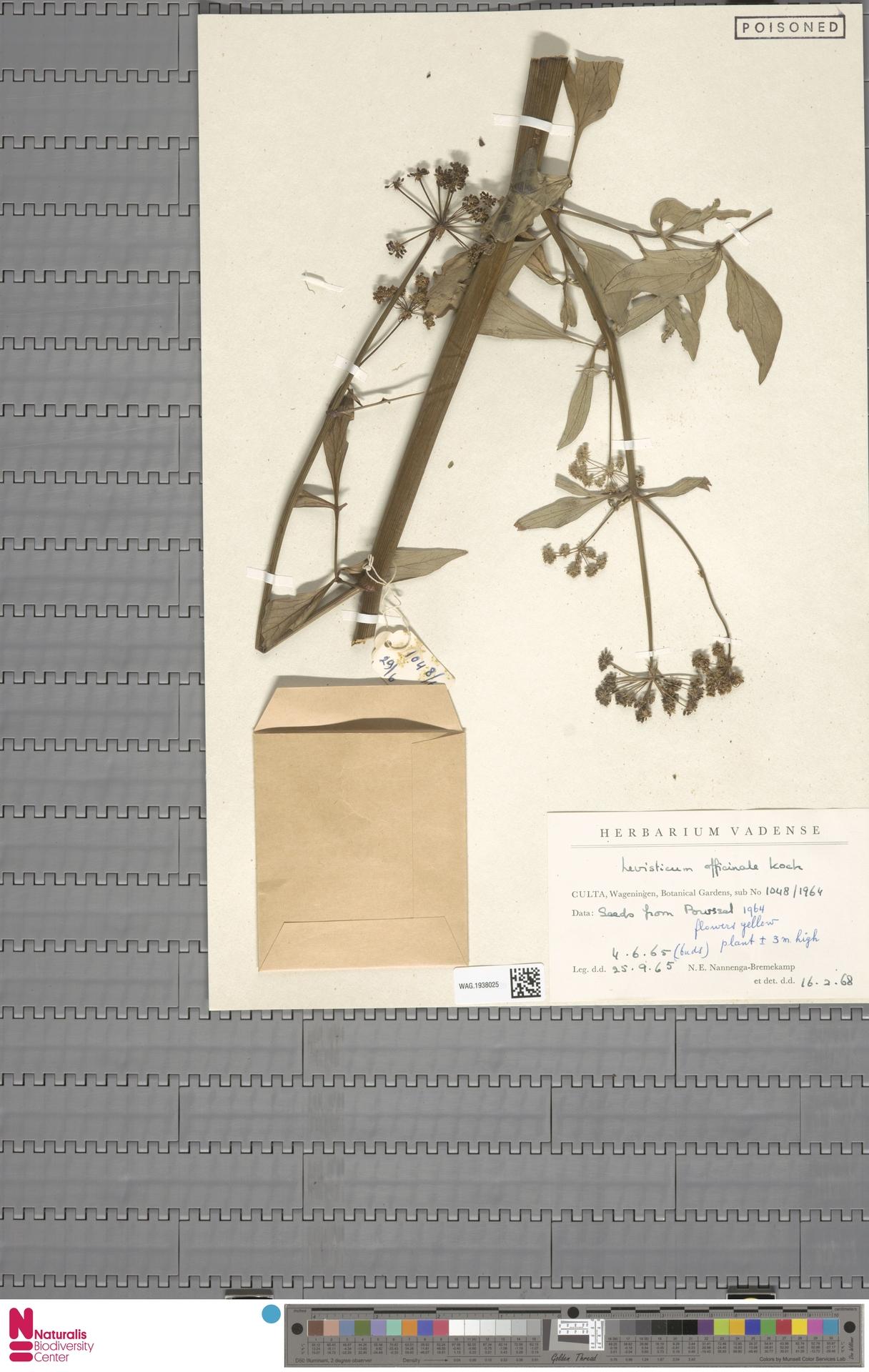 WAG.1938025 | Levisticum officinale W.D.J.Koch