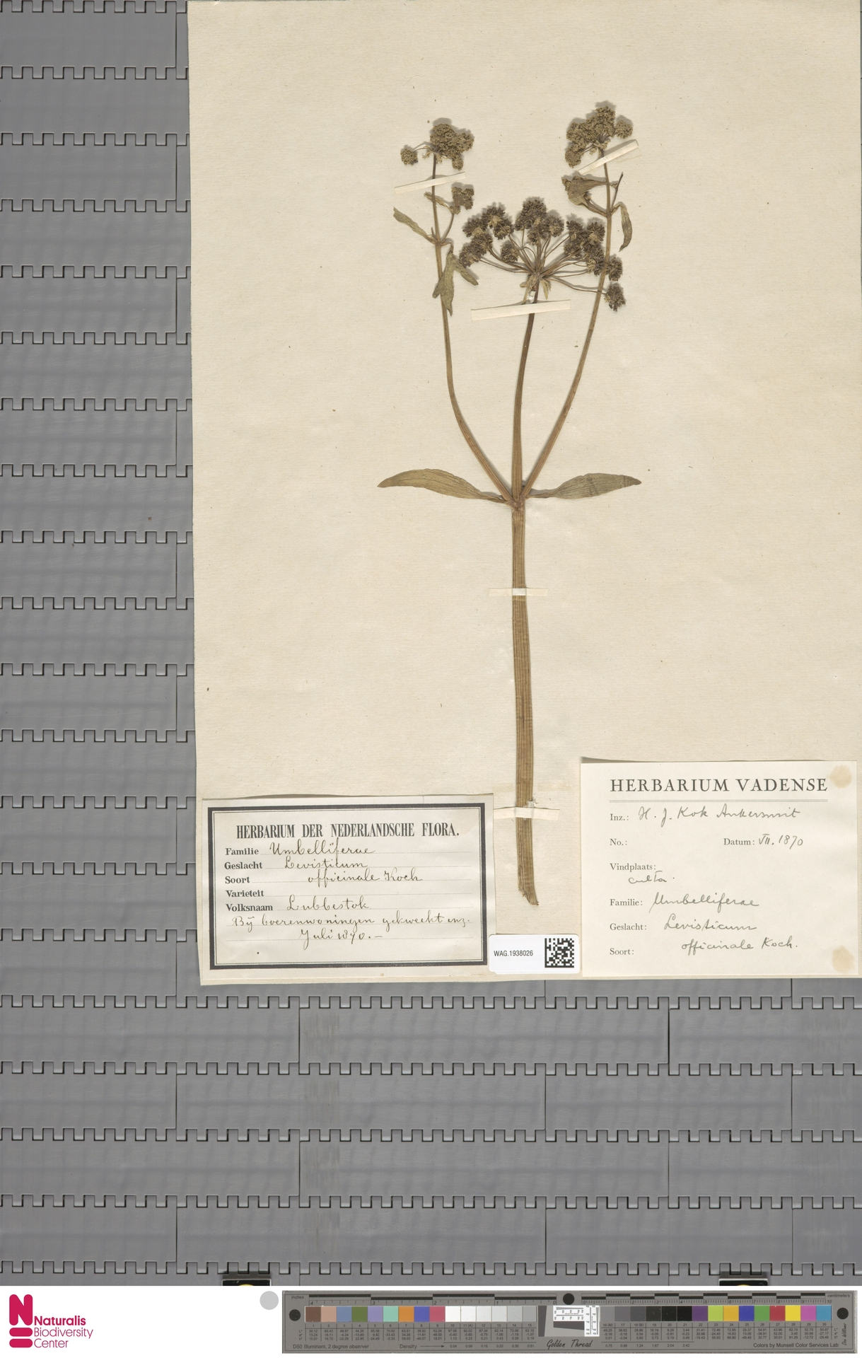 WAG.1938026 | Levisticum officinale W.D.J.Koch