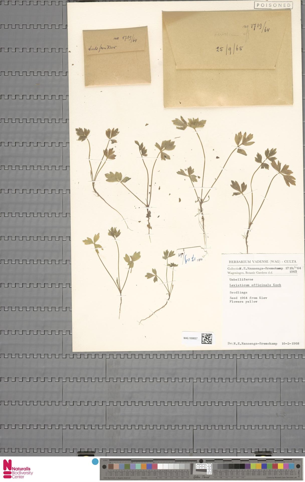 WAG.1938027   Levisticum officinale W.D.J.Koch