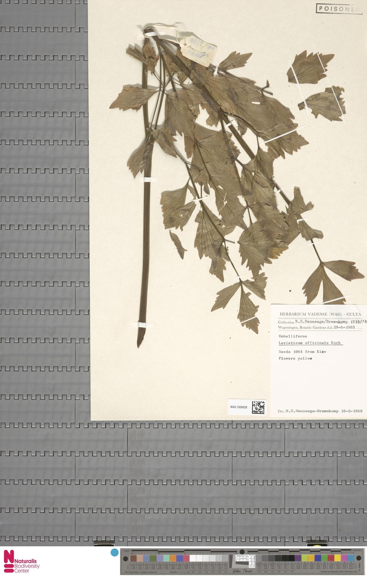 WAG.1938028 | Levisticum officinale W.D.J.Koch