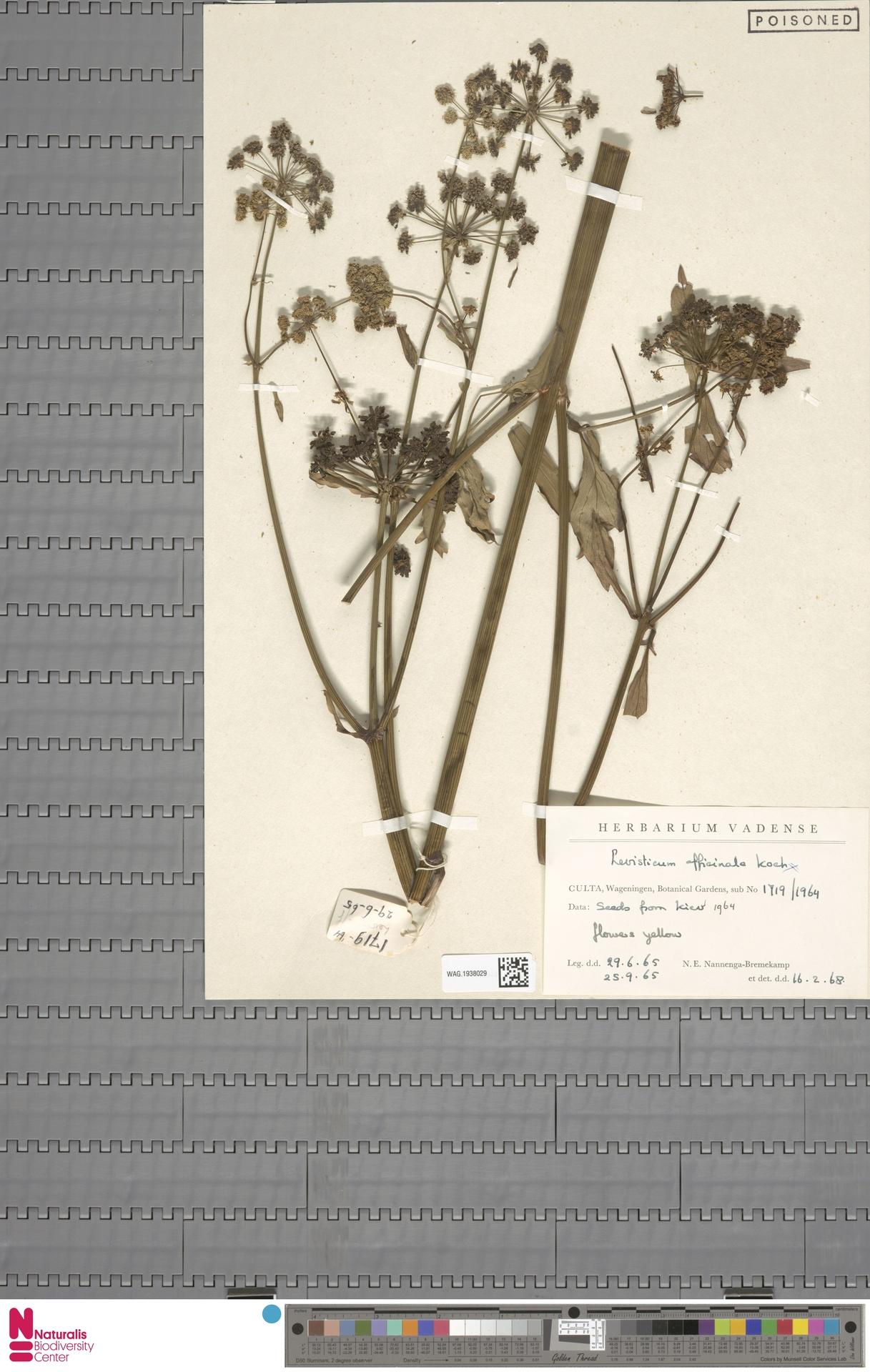 WAG.1938029 | Levisticum officinale W.D.J.Koch