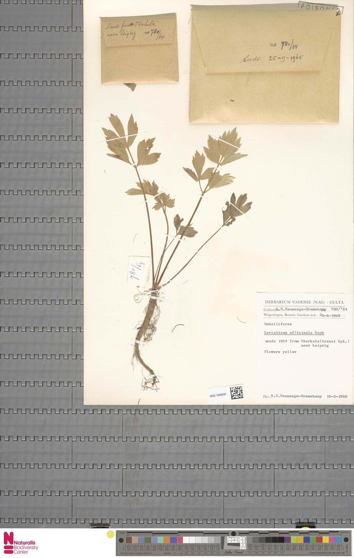 WAG.1938030 | Levisticum officinale W.D.J.Koch