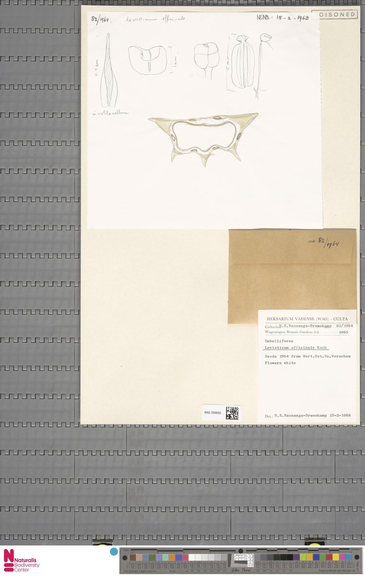 WAG.1938033 | Levisticum officinale W.D.J.Koch
