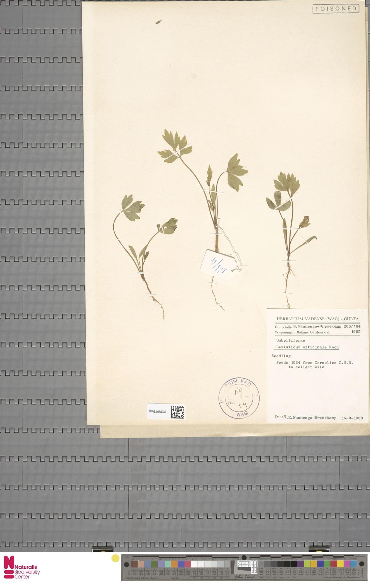 WAG.1938037 | Levisticum officinale W.D.J.Koch