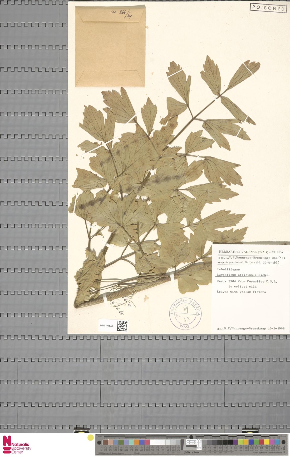 WAG.1938038 | Levisticum officinale W.D.J.Koch