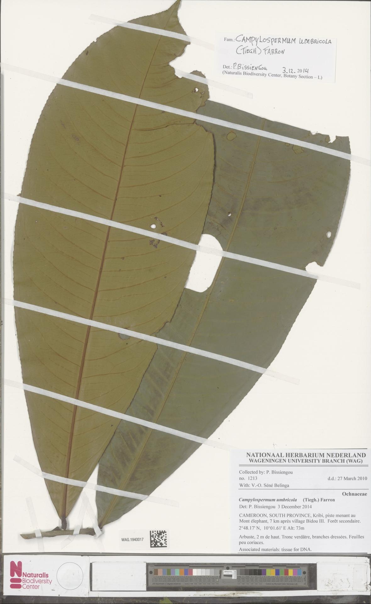 WAG.1940017 | Campylospermum umbricola (Tiegh.) Farron
