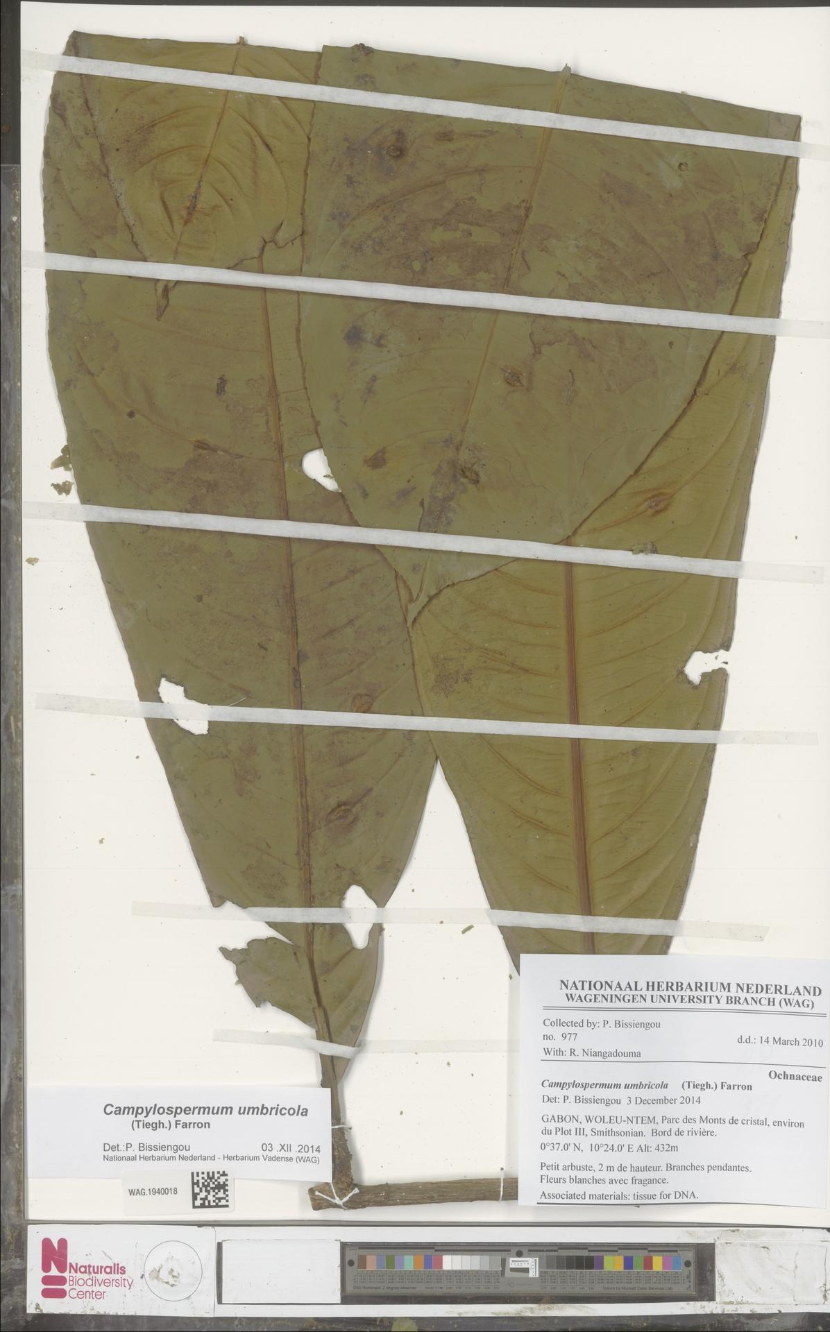 WAG.1940018 | Campylospermum umbricola (Tiegh.) Farron