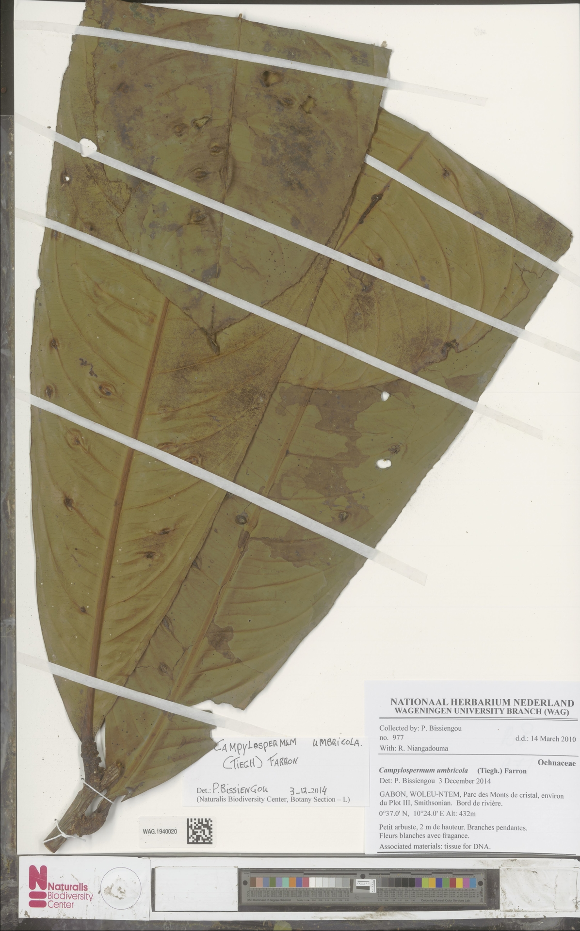 WAG.1940020 | Campylospermum umbricola (Tiegh.) Farron