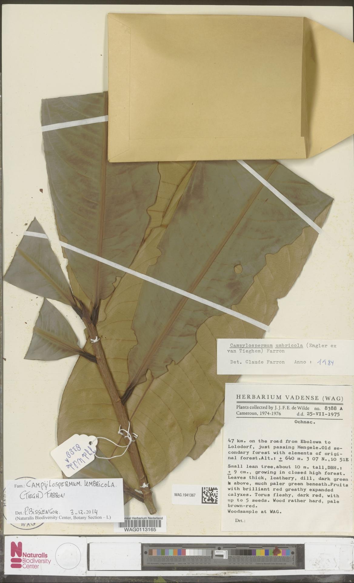 WAG.1941367 | Campylospermum umbricola (Tiegh.) Farron