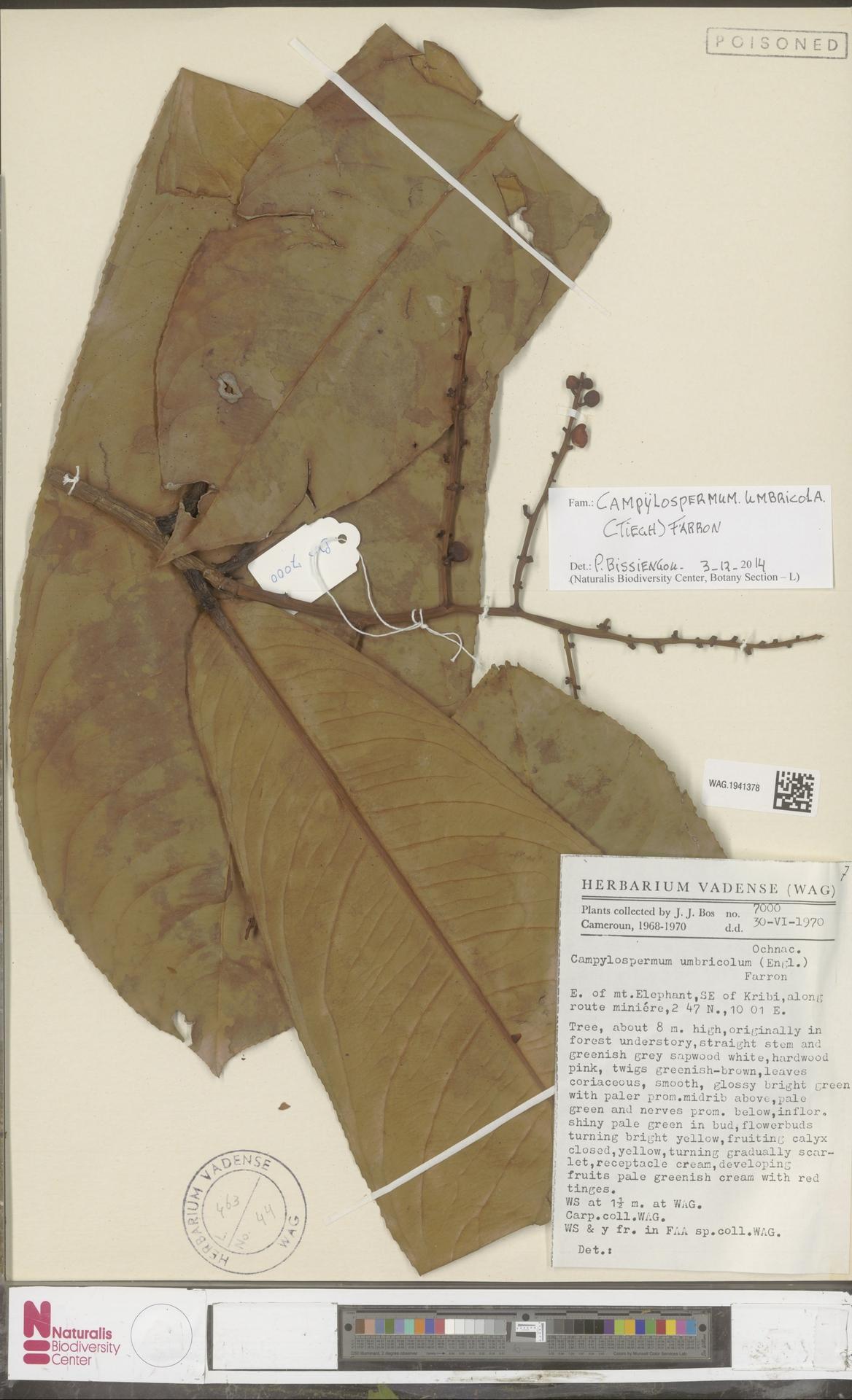 WAG.1941378 | Campylospermum umbricola (Tiegh.) Farron