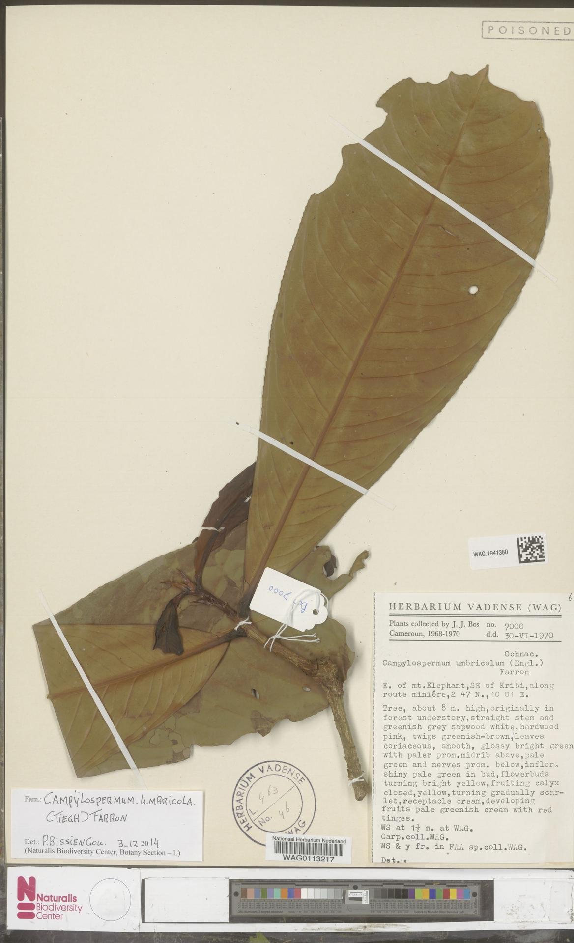 WAG.1941380 | Campylospermum umbricola (Tiegh.) Farron