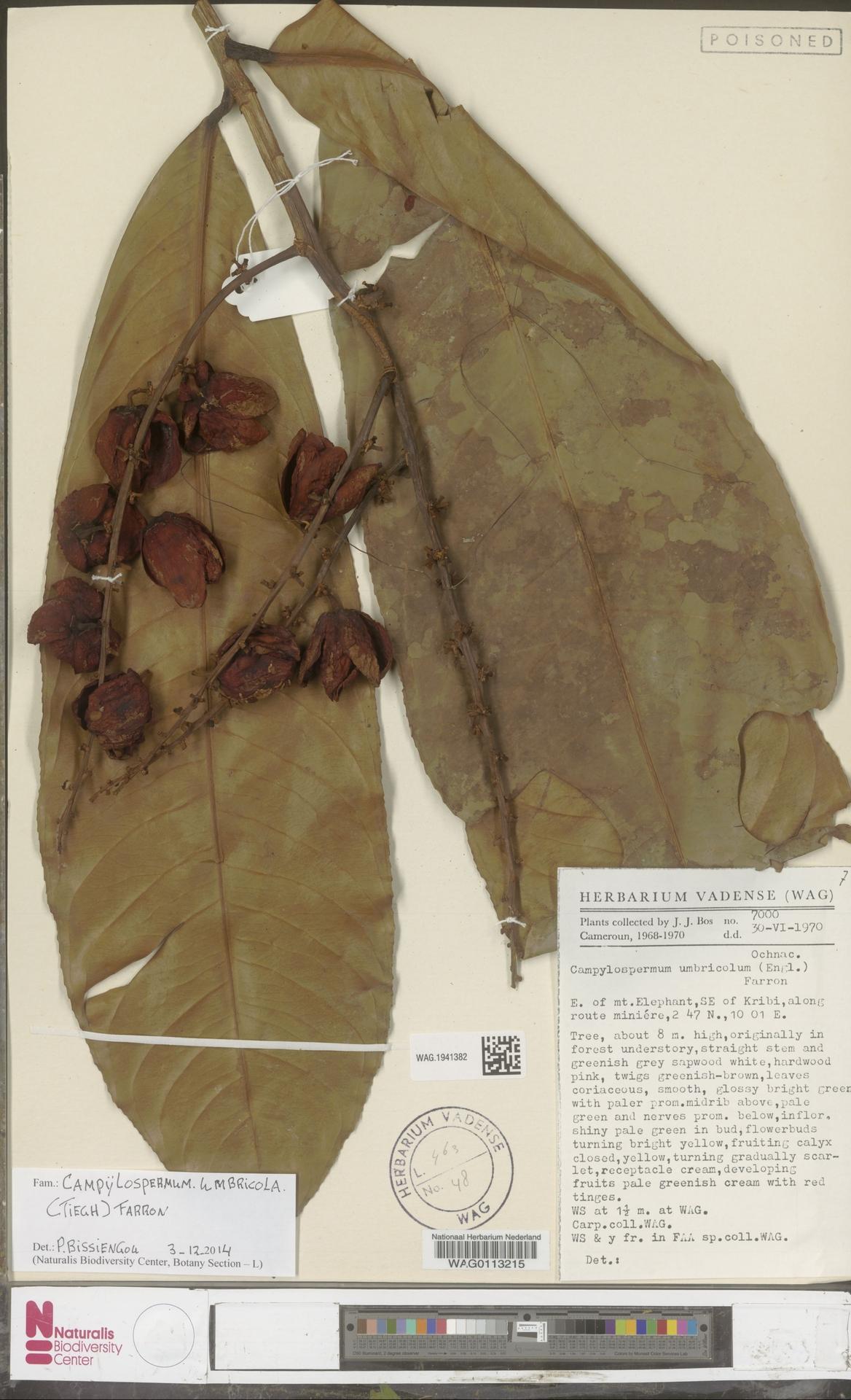 WAG.1941382 | Campylospermum umbricola (Tiegh.) Farron
