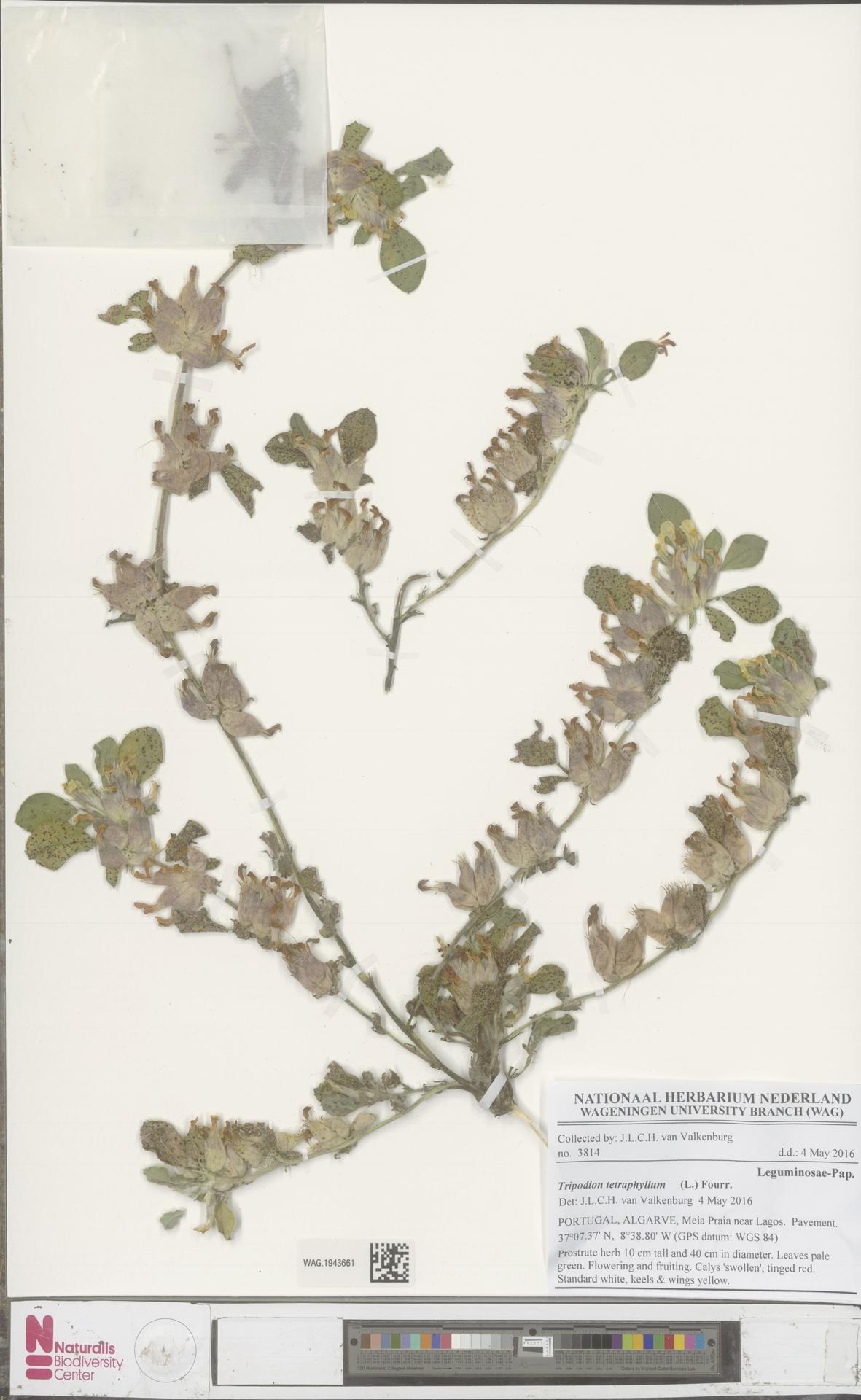 WAG.1943661 | Tripodion tetraphyllum (L.) Fourr.