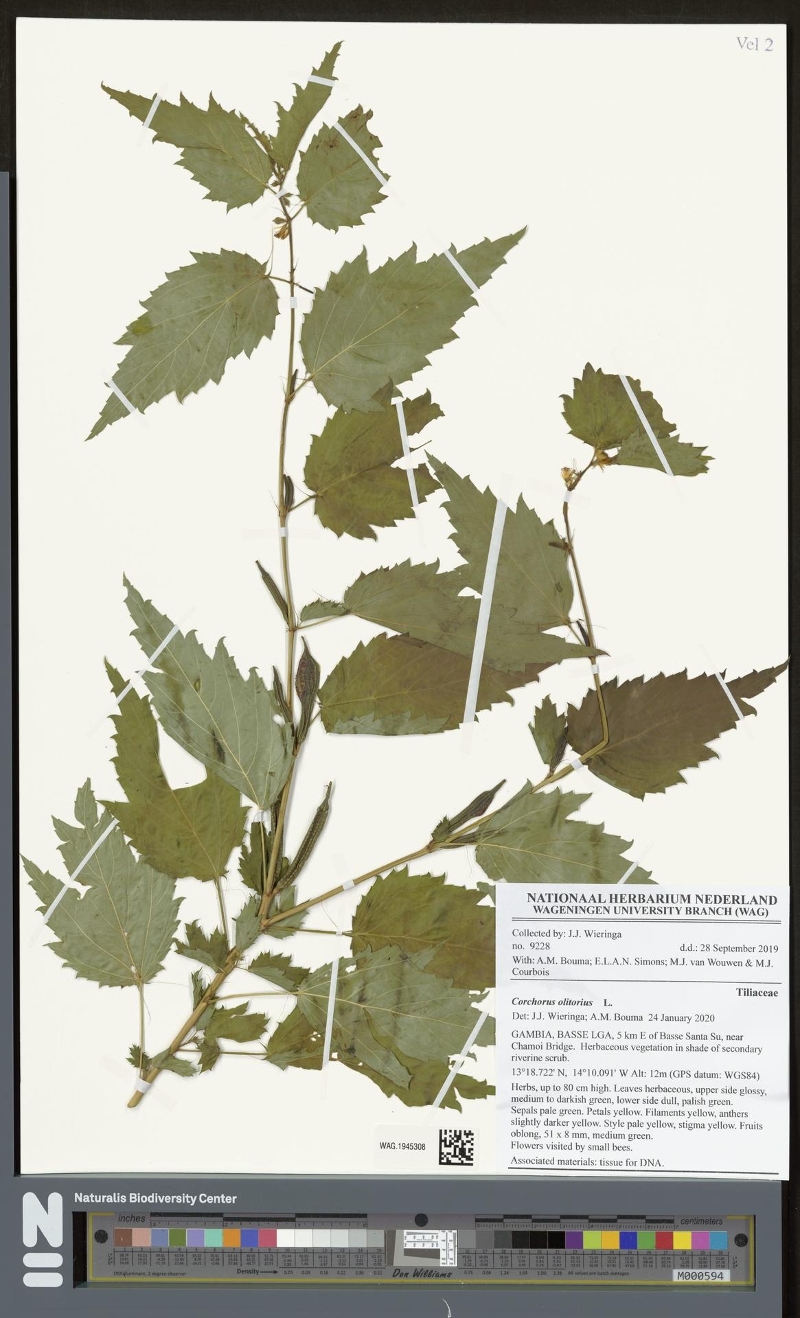 WAG.1945308   Corchorus olitorius L.