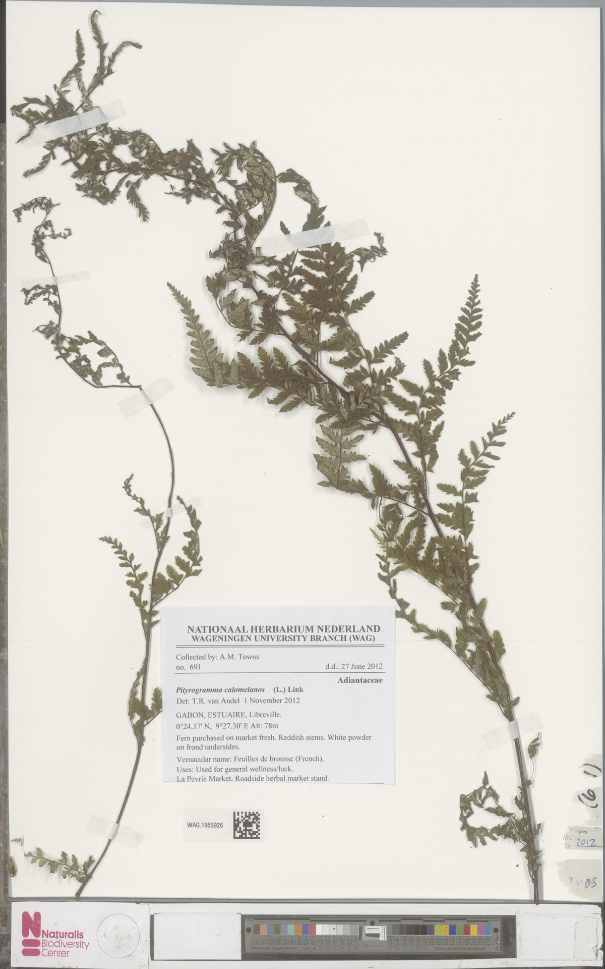 WAG.1950926   Pityrogramma calomelanos (L.) Link
