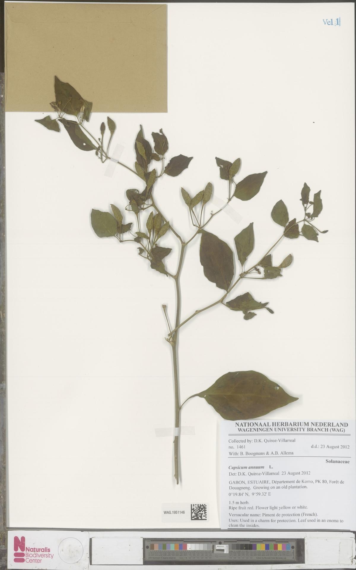 WAG.1951146 | Capsicum annuum L.