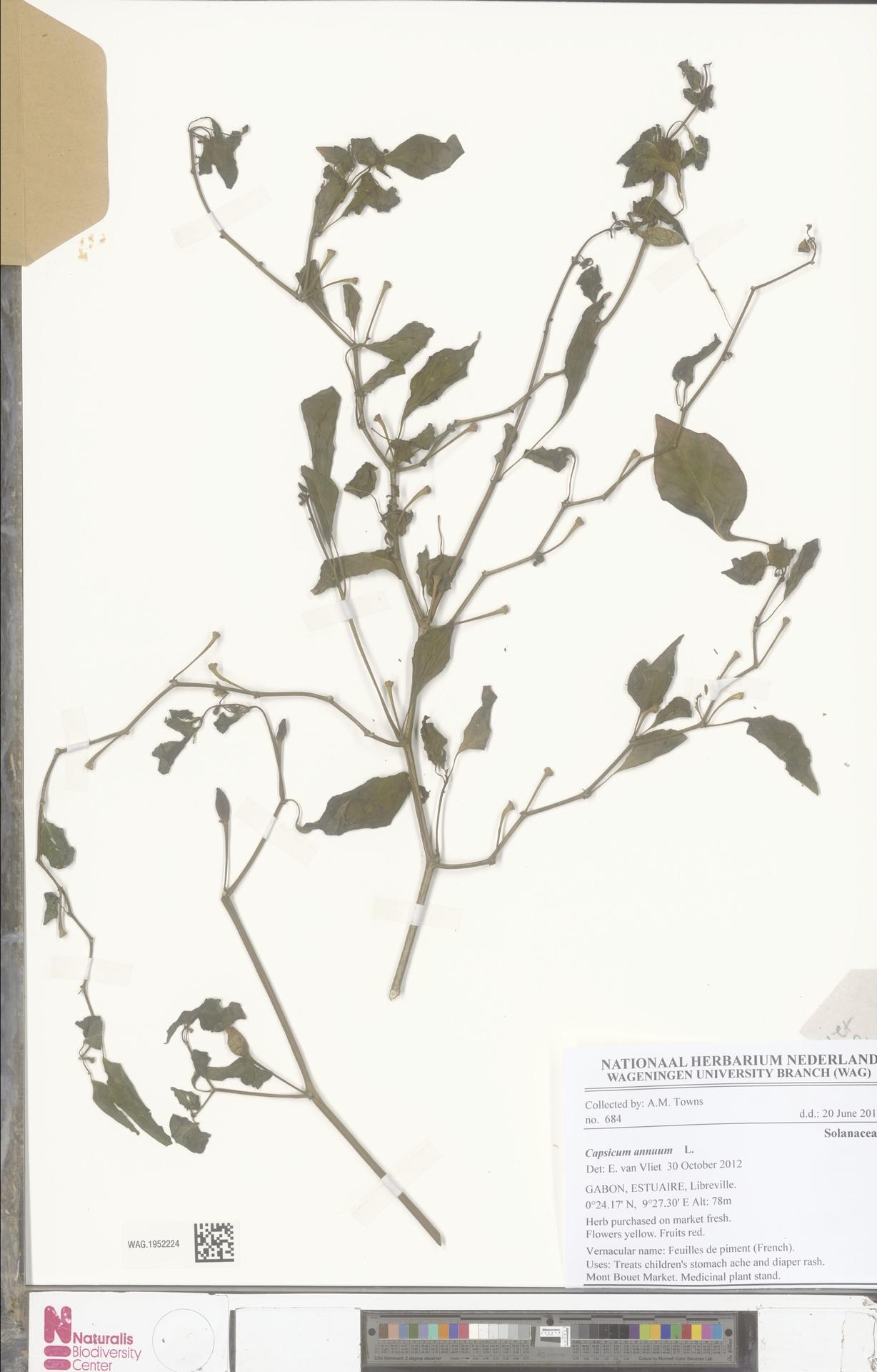 WAG.1952224 | Capsicum annuum L.
