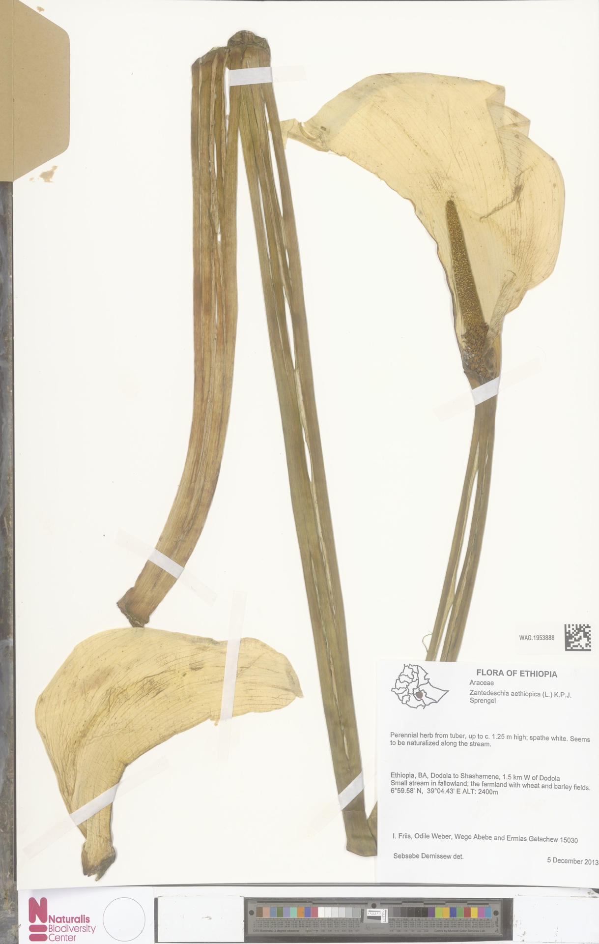 WAG.1953888 | Zantedeschia aethiopica (L.) Spreng.