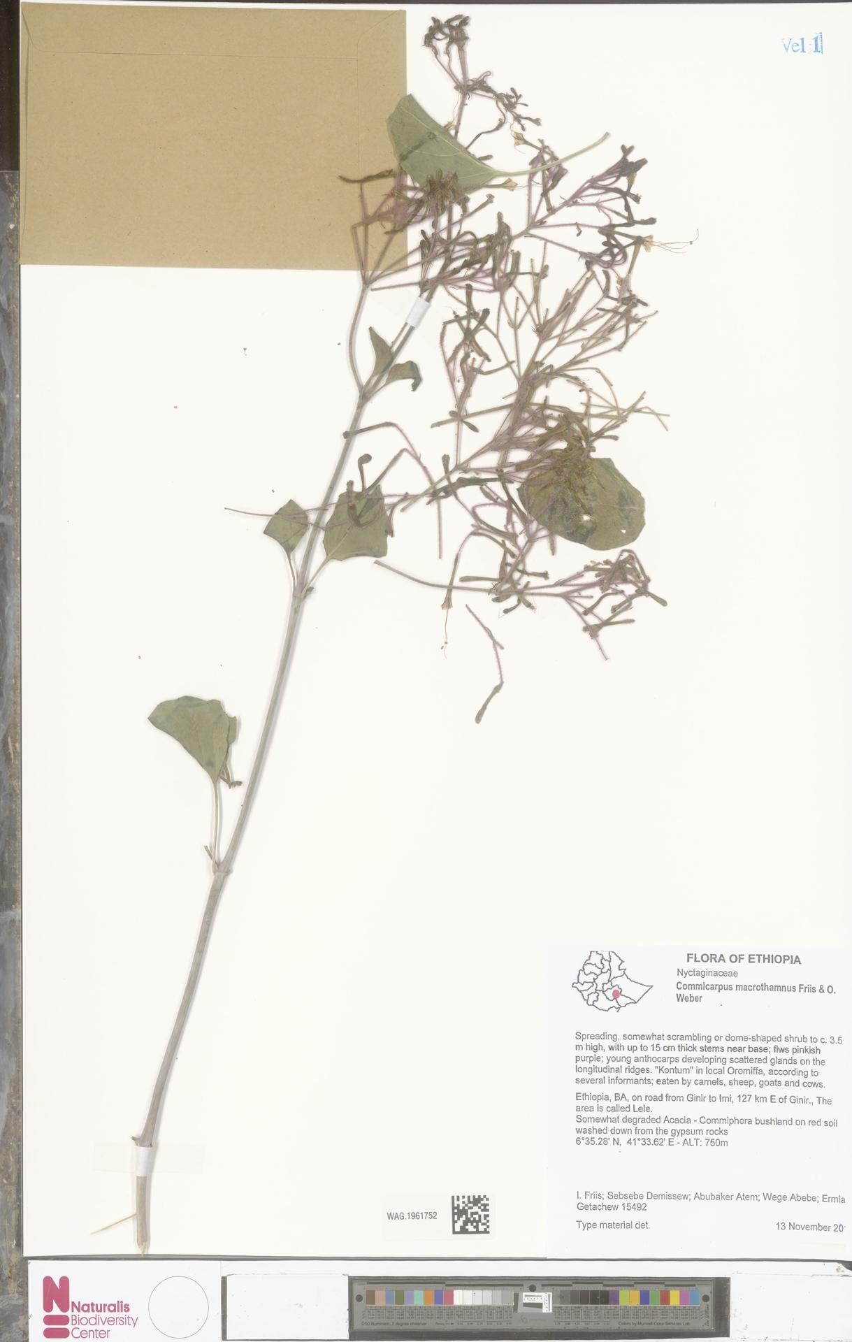 WAG.1961752 | Commicarpus macrothamnus Friis & O.Weber