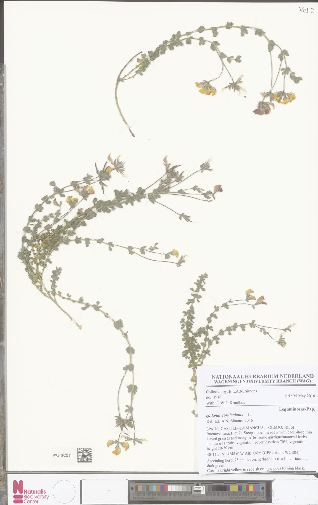 WAG.1962381 | Lotus corniculatus L.