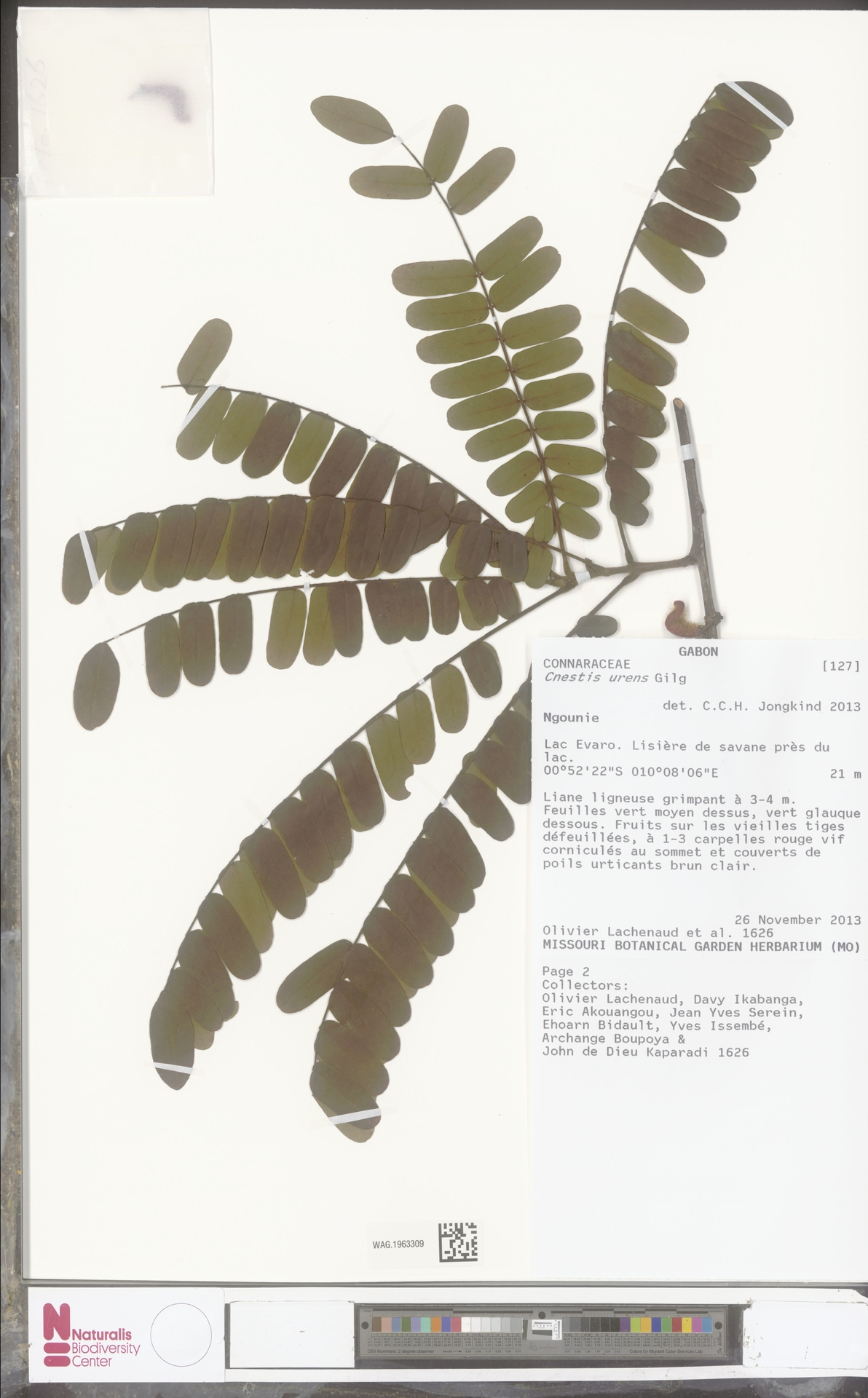 WAG.1963309 | Cnestis urens Gilg