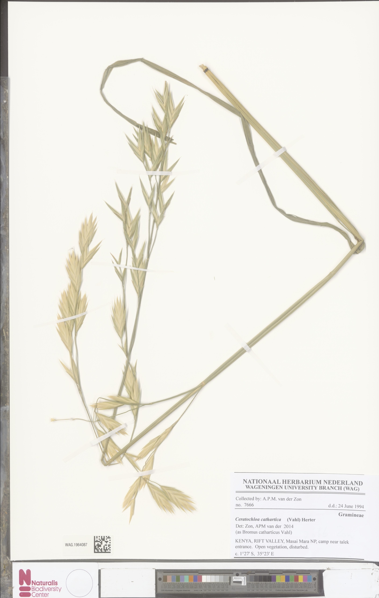 WAG.1964087 | Bromus catharticus Vahl