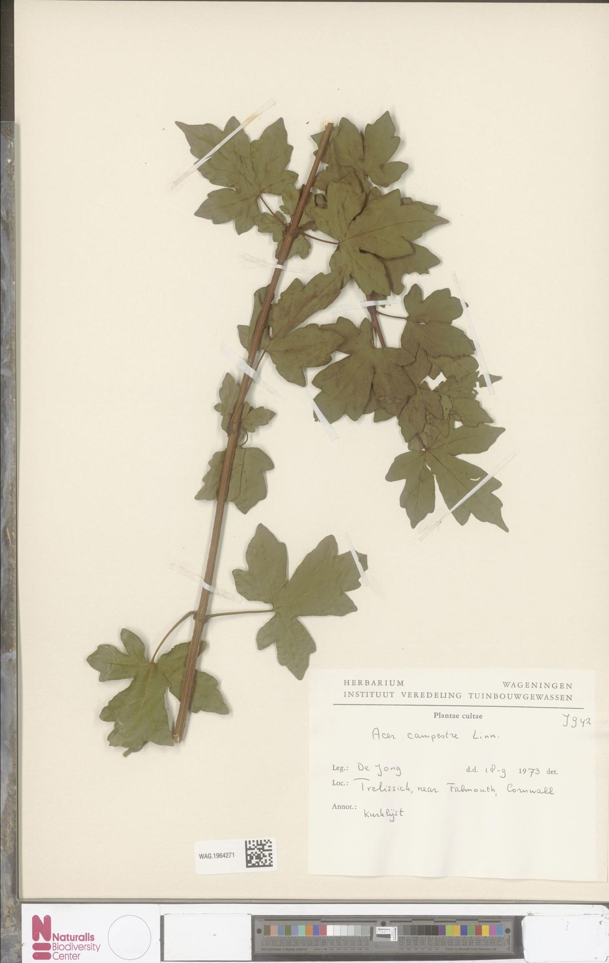 WAG.1964271 | Acer campestre L.
