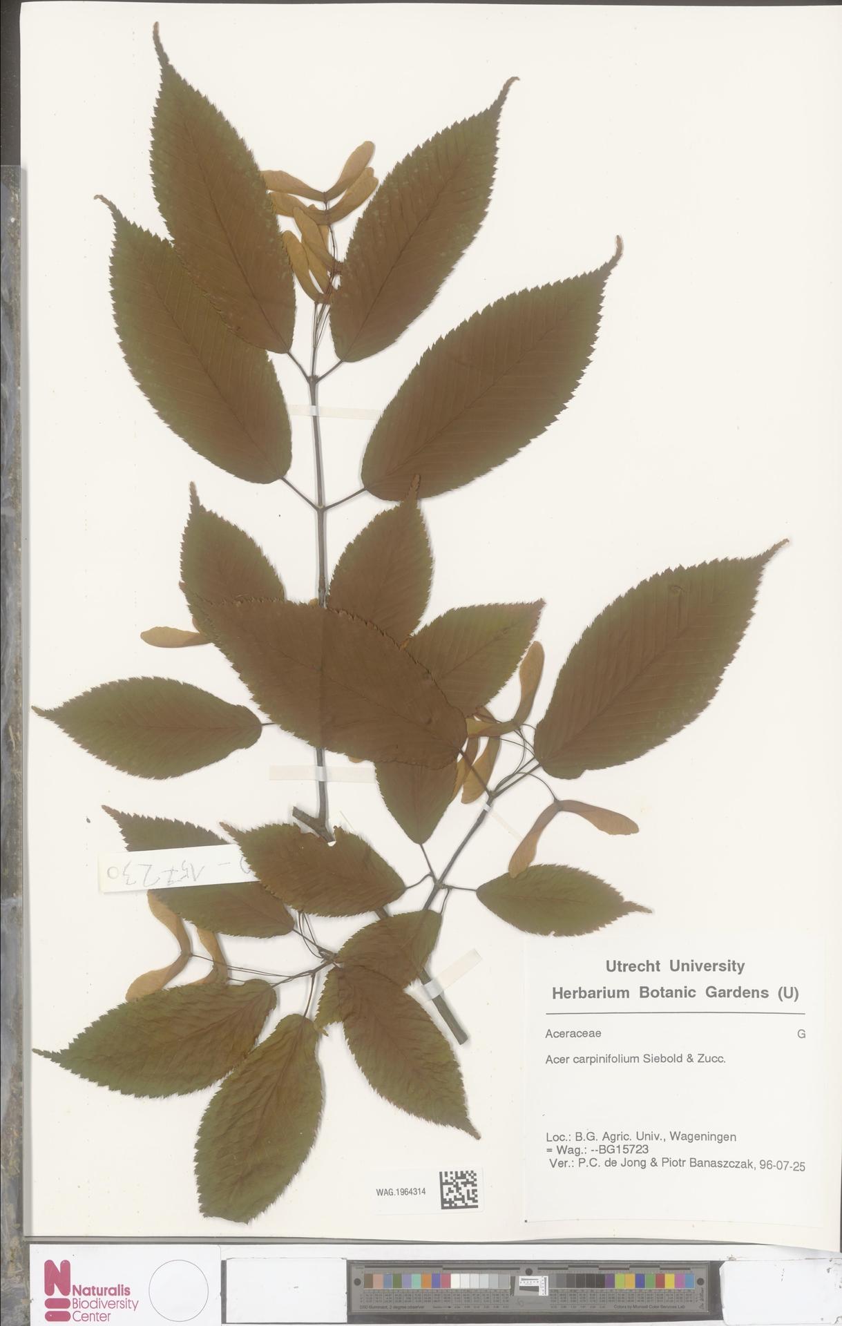 WAG.1964314 | Acer carpinifolium Siebold & Zucc.