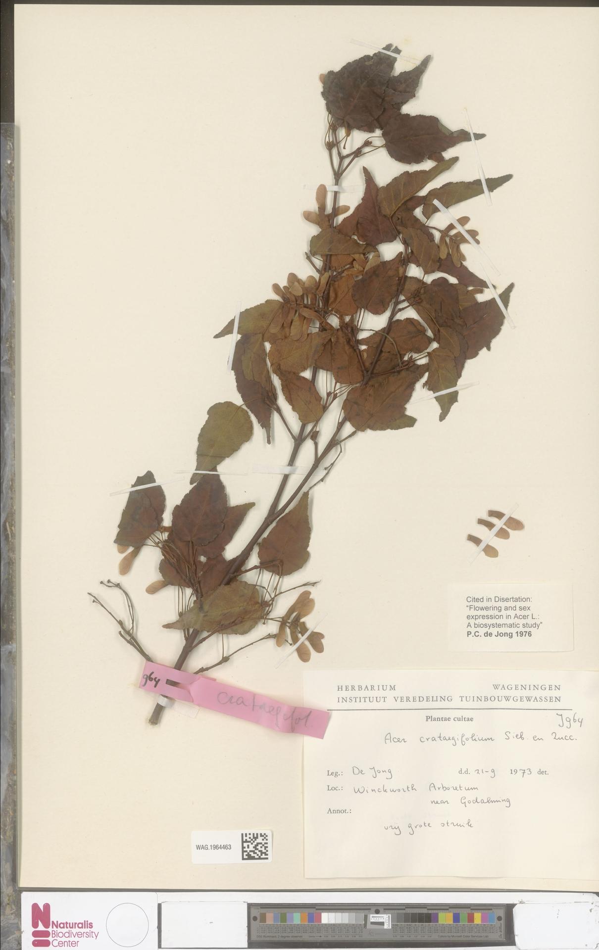 WAG.1964463 | Acer crataegifolium Siebold & Zucc.