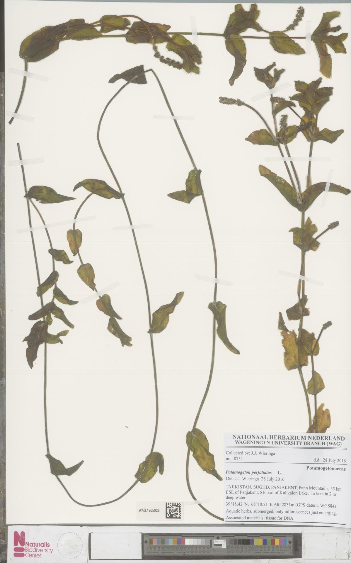 WAG.1965026 | Potamogeton perfoliatus L.