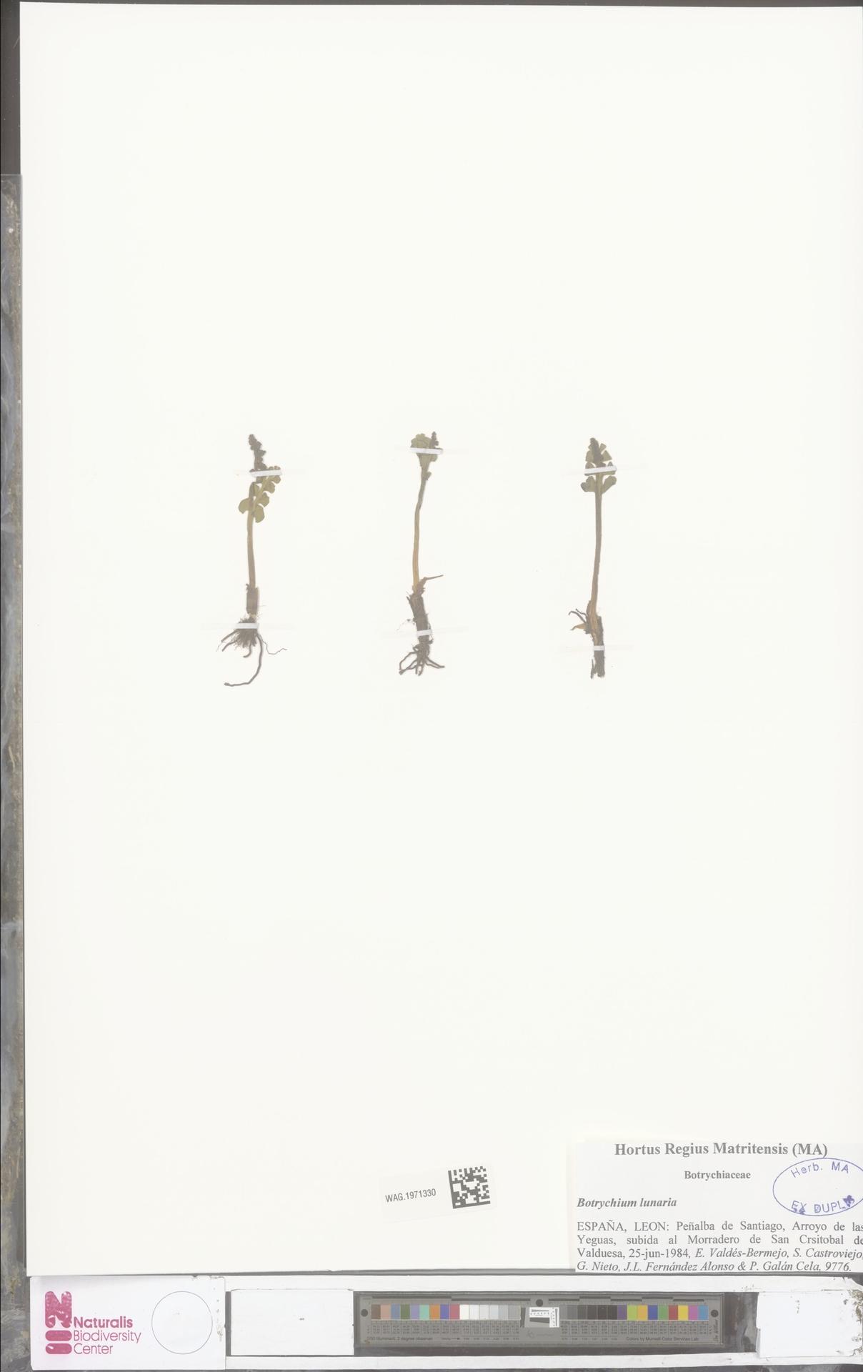 WAG.1971330 | Botrychium lunaria (L.) Sw.