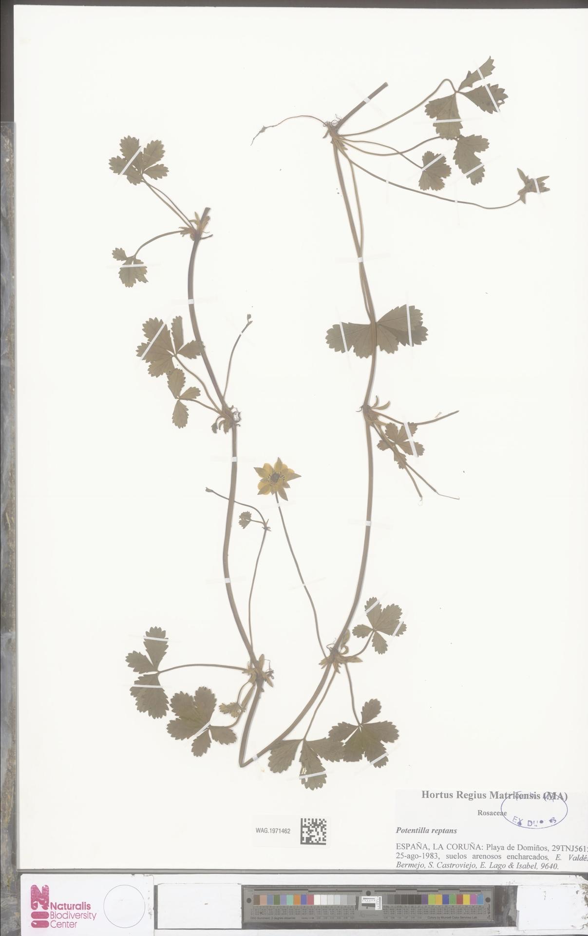 WAG.1971462 | Potentilla reptans L.