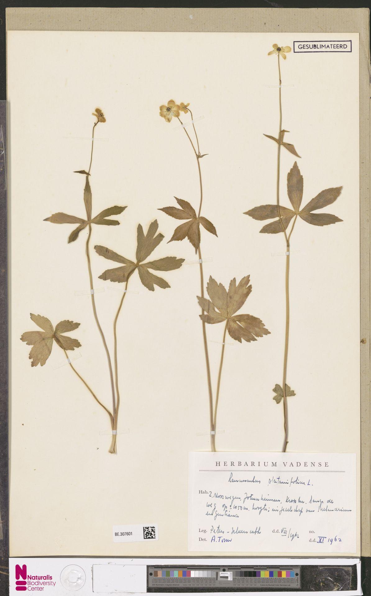 WAG.307601   Ranunculus platanifolius L.
