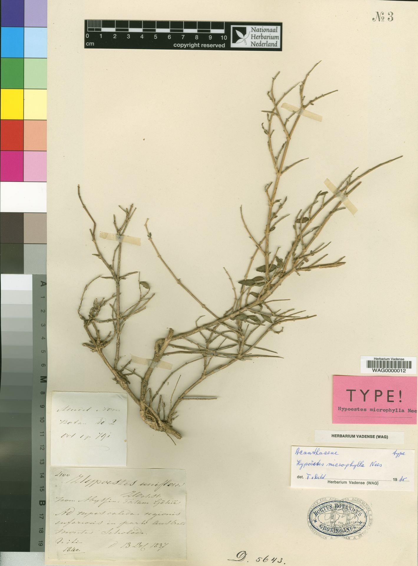 WAG0000012 | Hypoestes uniflora Hochst.