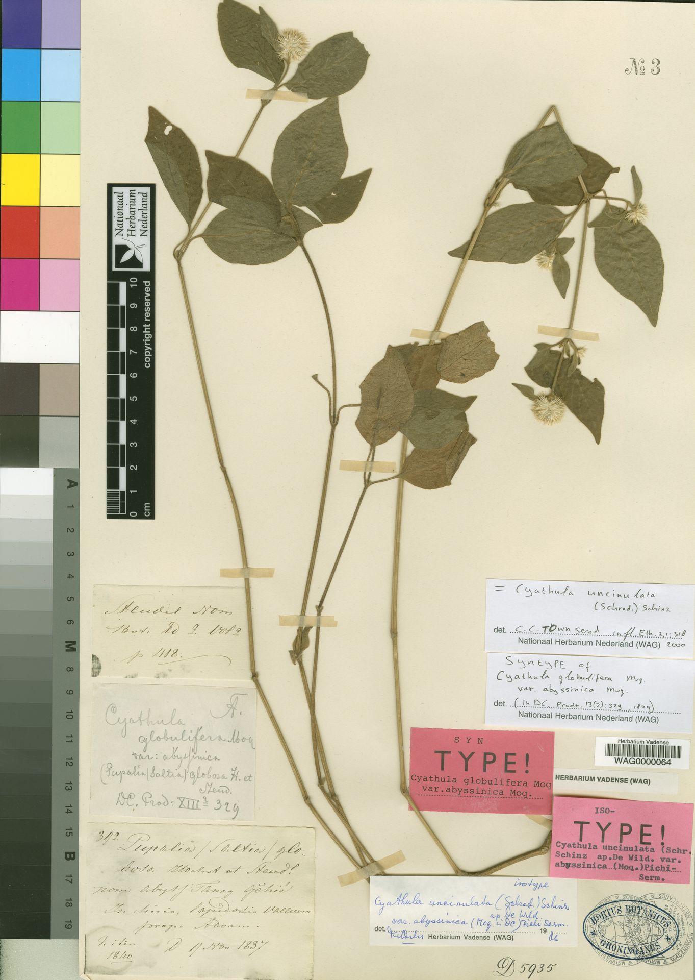 WAG0000064 | Cyathula uncinulata (Schrad.) Schinz