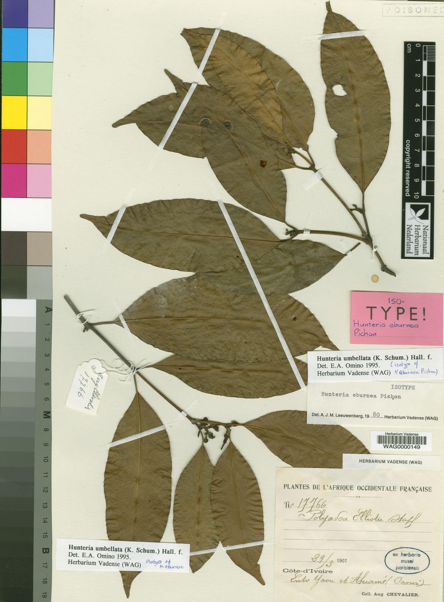 WAG0000149 | Hunteria umbellata (K.Schum.) Hallier f.