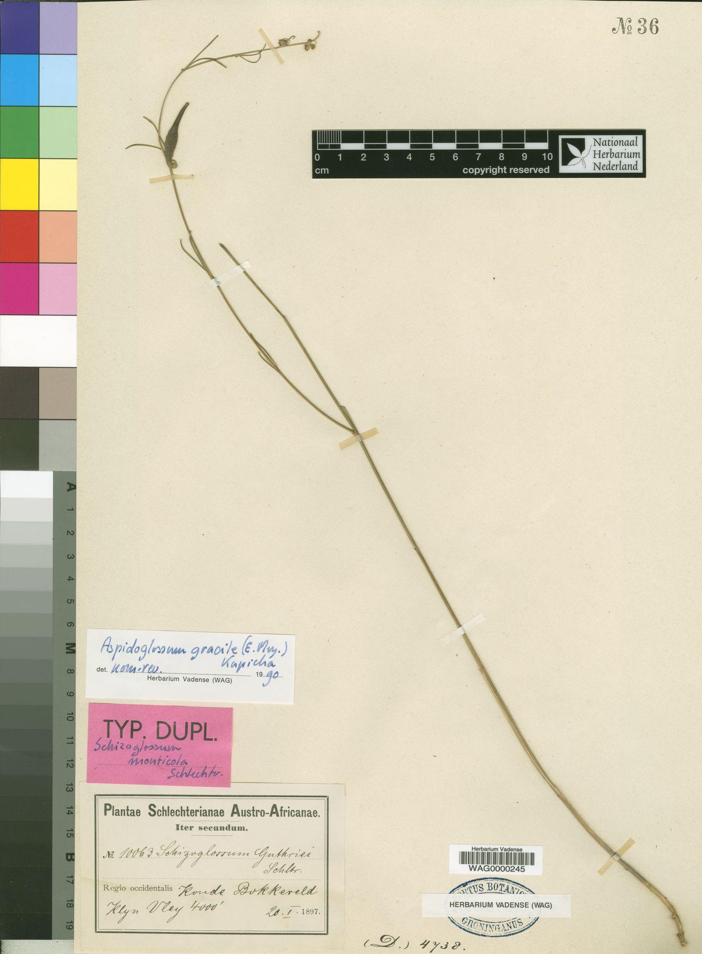 WAG0000245   Aspidoglossum gracile (E.Mey.) Kupicha