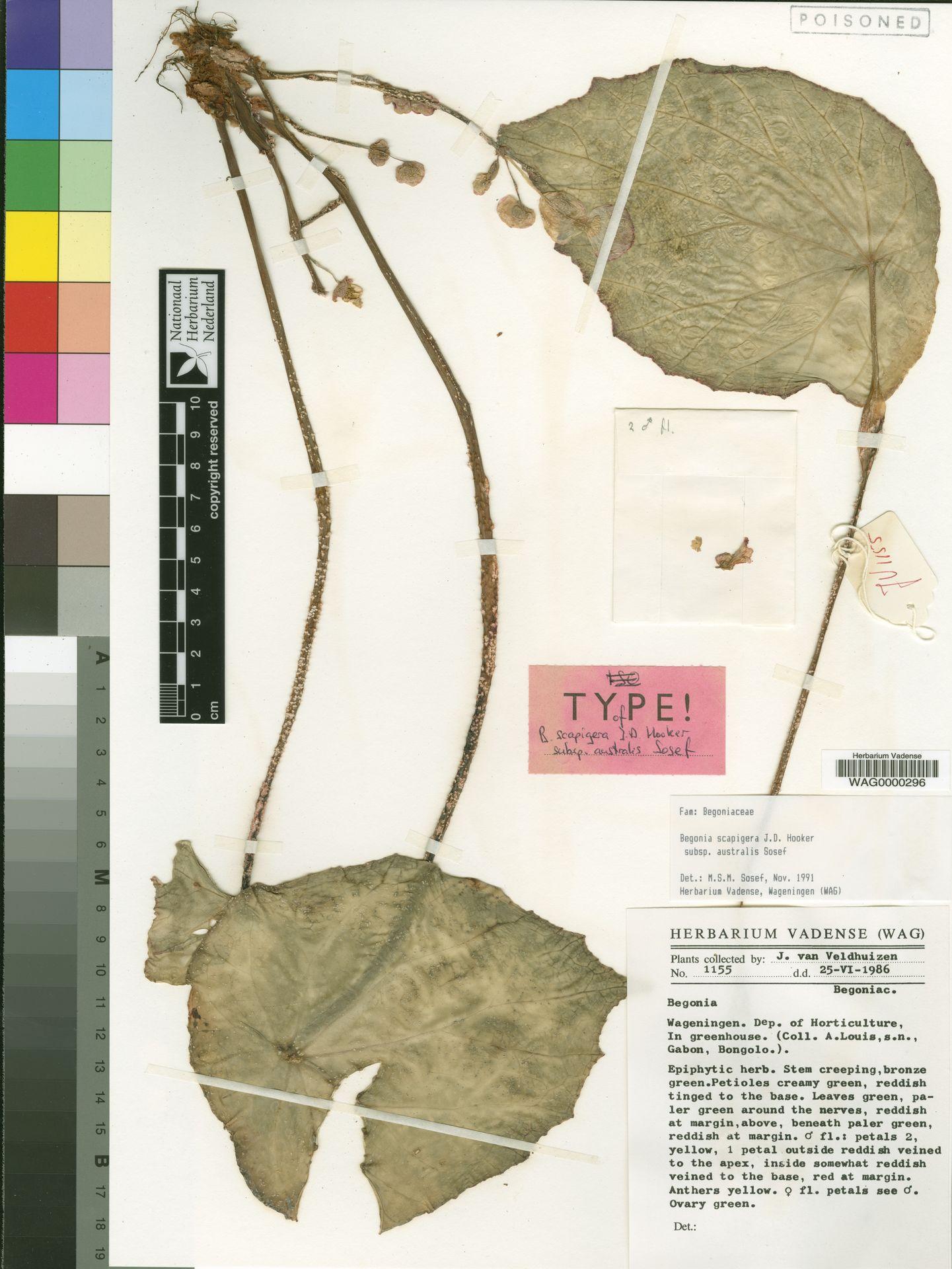 WAG0000296   Begonia scapigera subsp. australis Sosef
