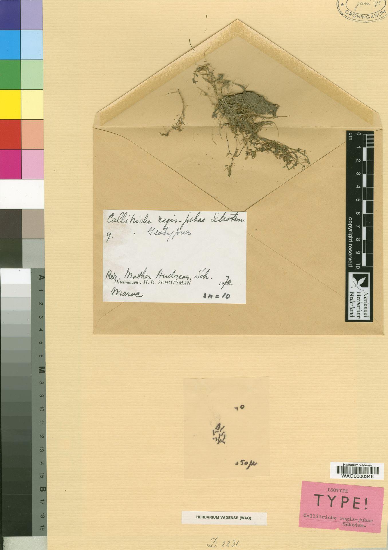 WAG0000346 | Callitriche regis-jubae Schotsman