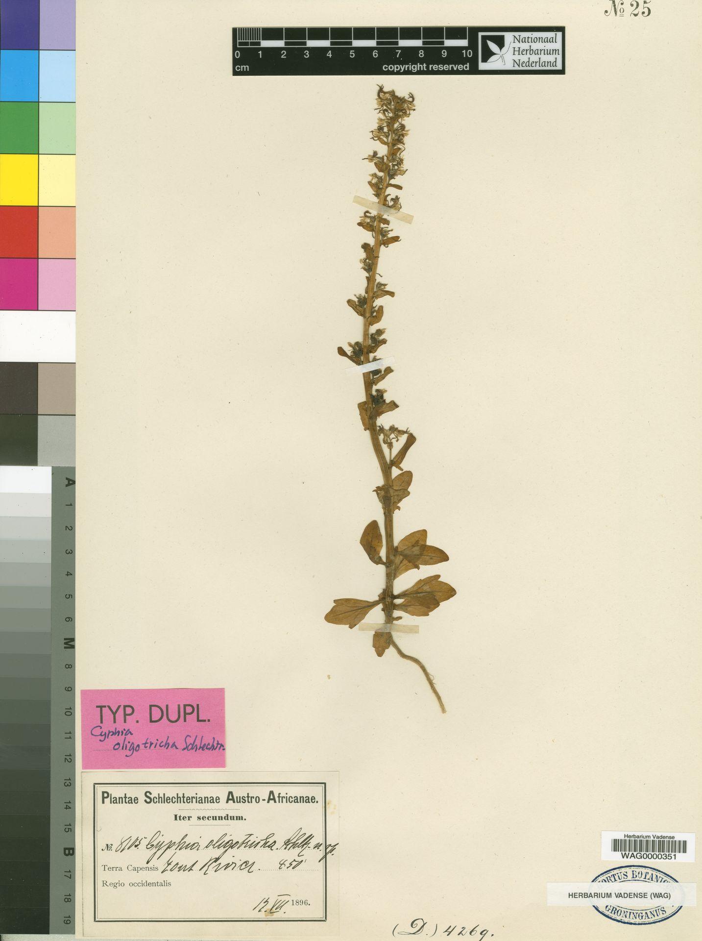 WAG0000351 | Cyphia oligotricha Schltr.