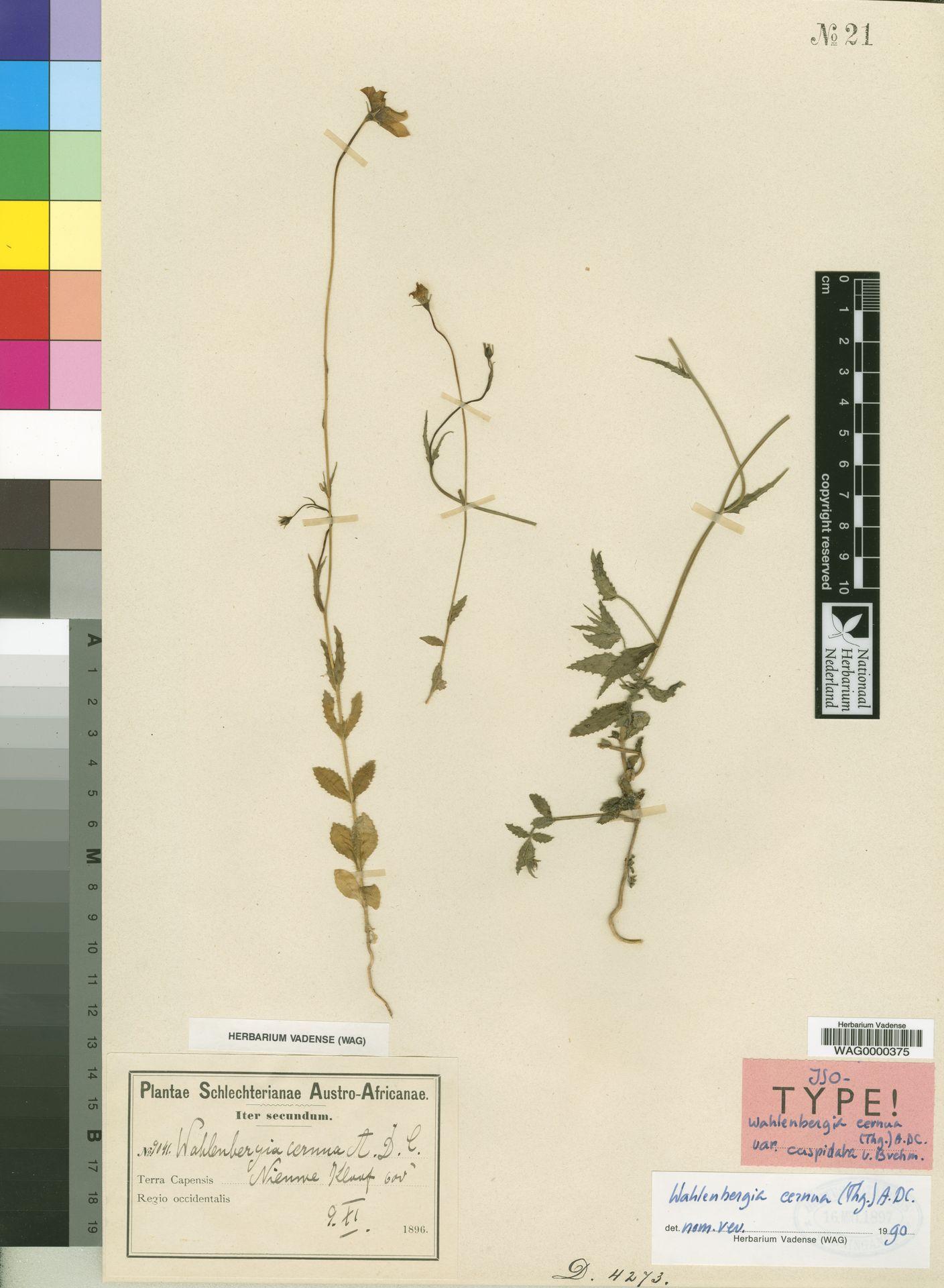 WAG0000375   Wahlenbergia cernua (Thunb.) A.DC.
