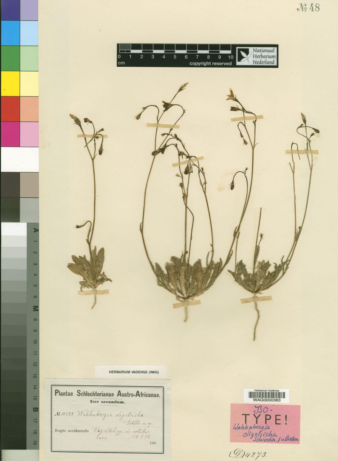 WAG0000383 | Wahlenbergia oligotricha Schltr. & Brehmer